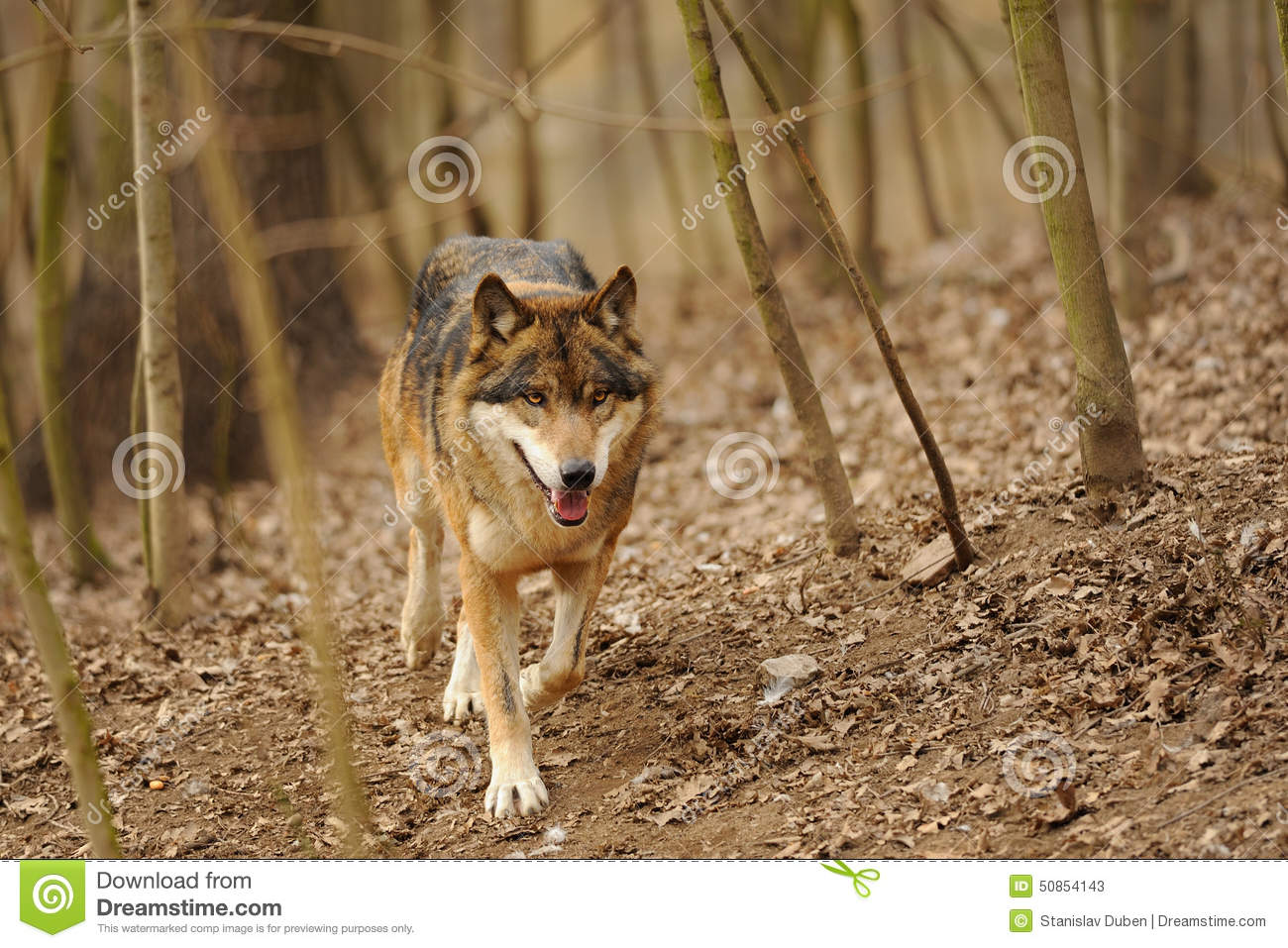 Running Wolf From The Front View Stock Image - Image: 50854143