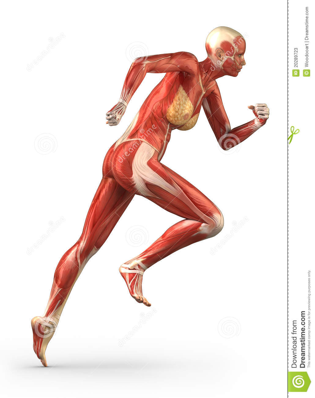 Running Woman Muscular System Anatomy Lateral View Stock ...
