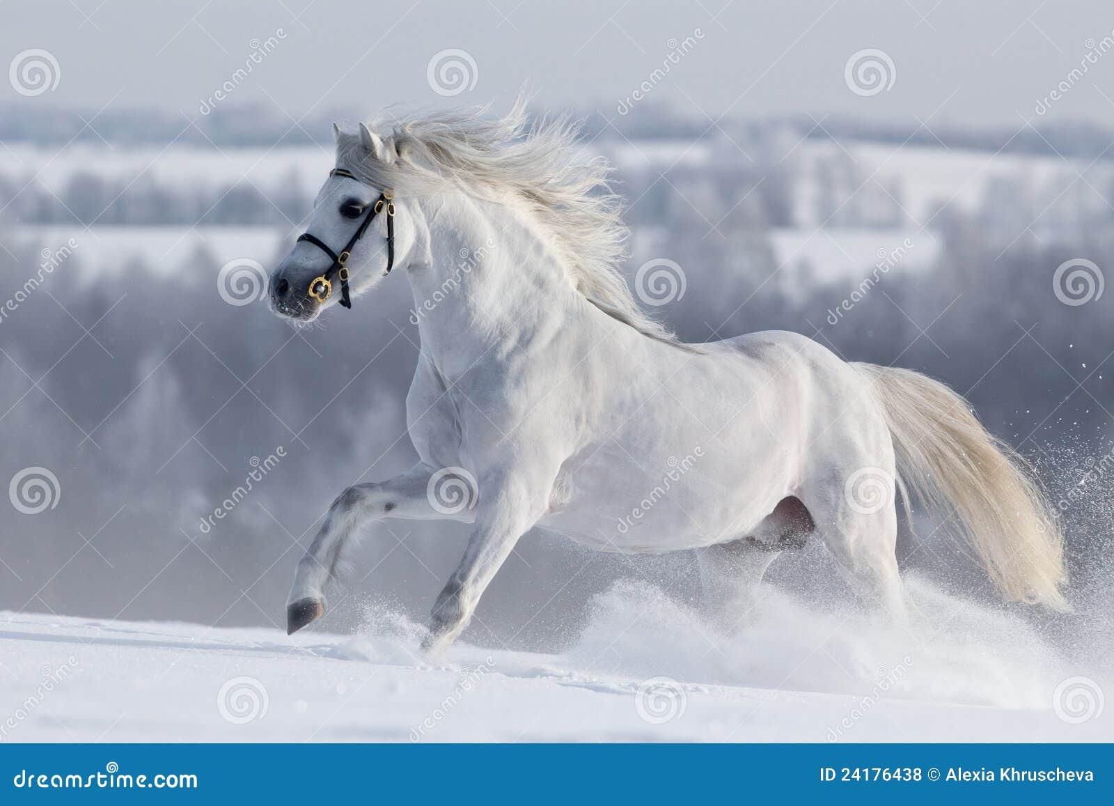 Runns bianchi del cavallo di Lingua gallese sulla collina