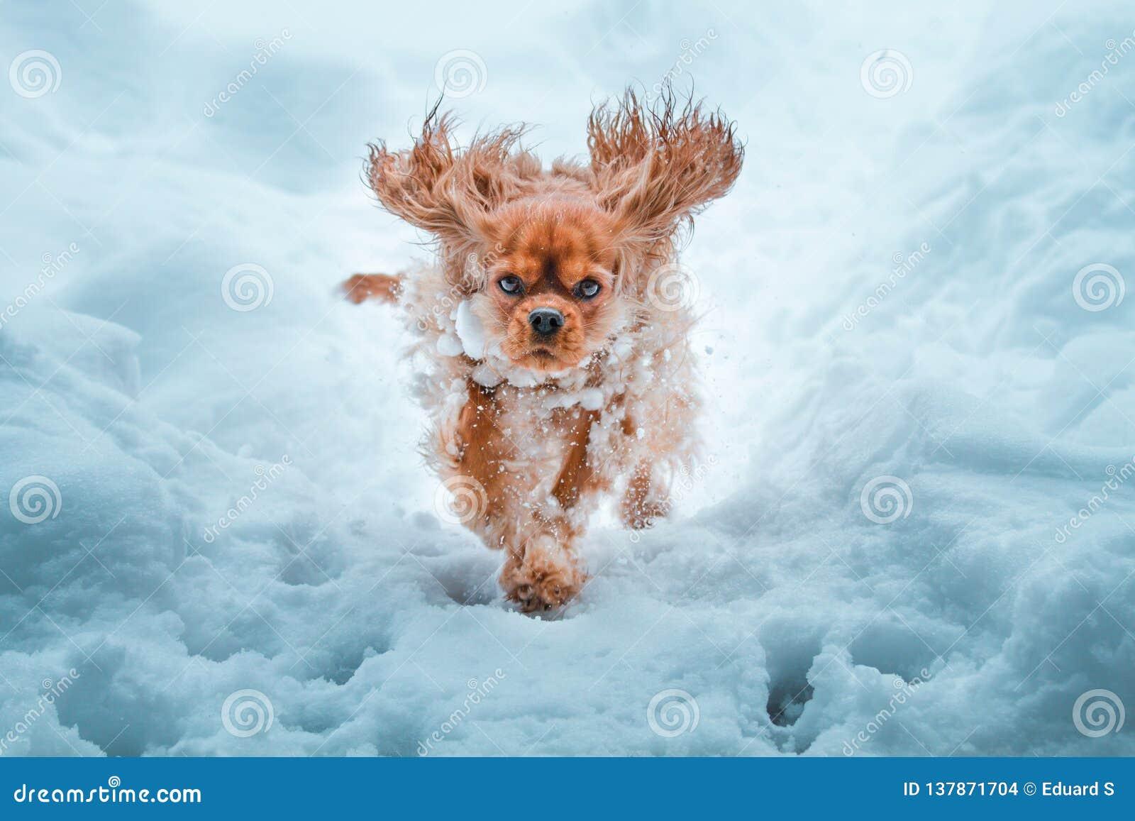 Runnung arrogante del perro de rey Charles Spaniel en invierno