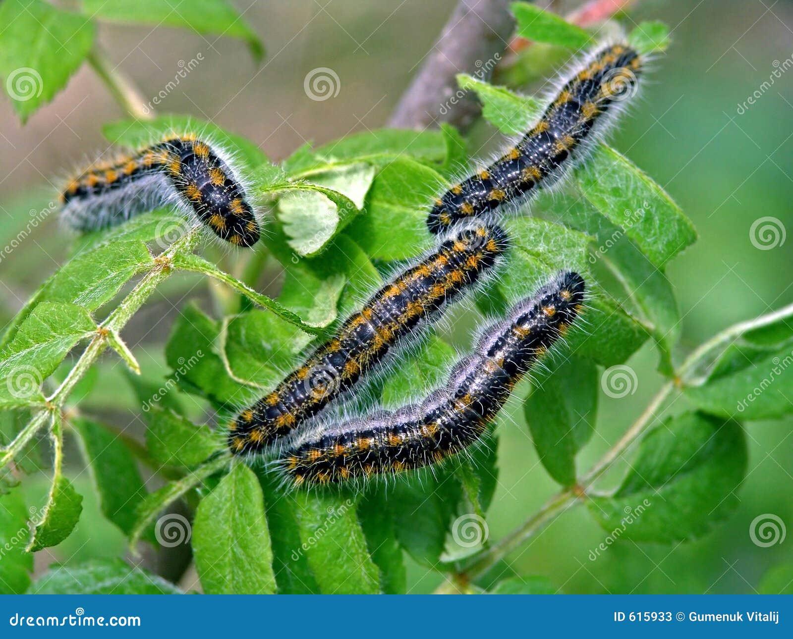 Rupsband van bucephala van vlinderPhalera.