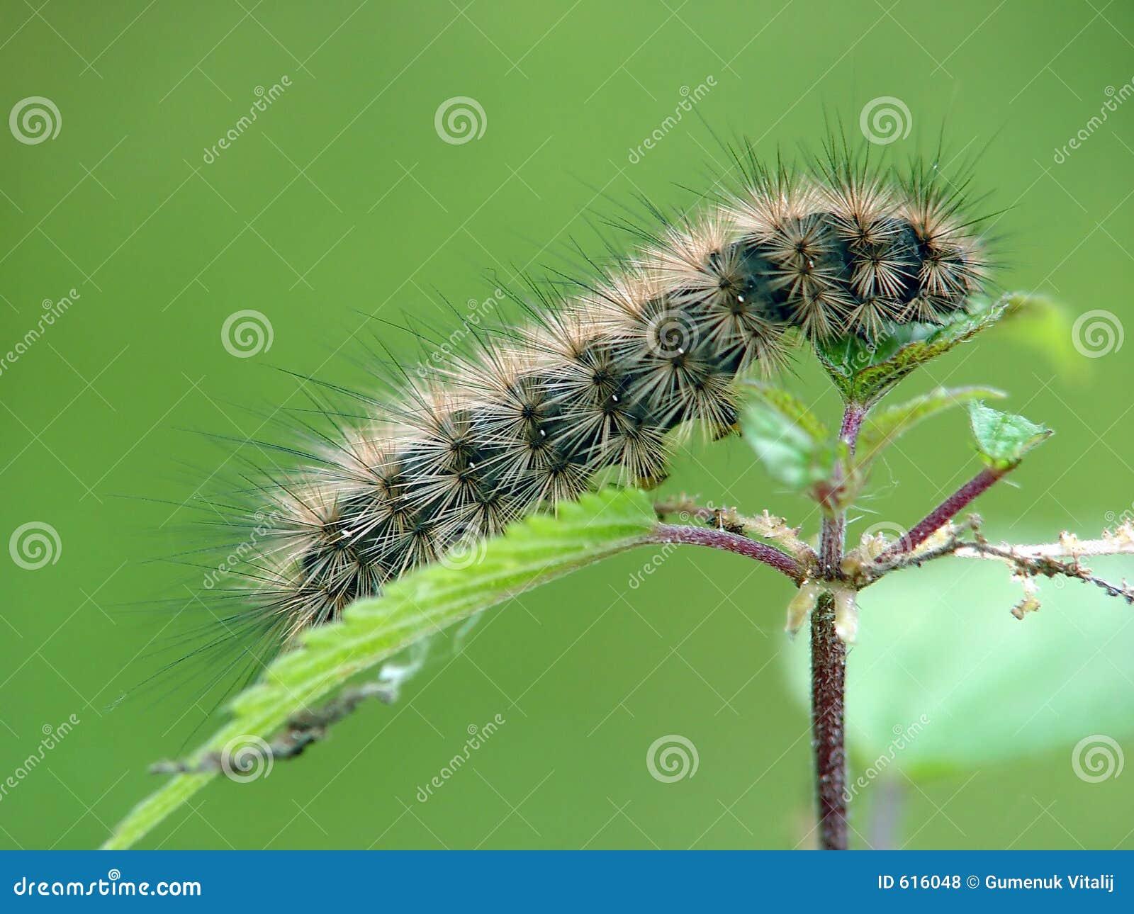 Rupsband van de vlinder van familie Arctiidae.