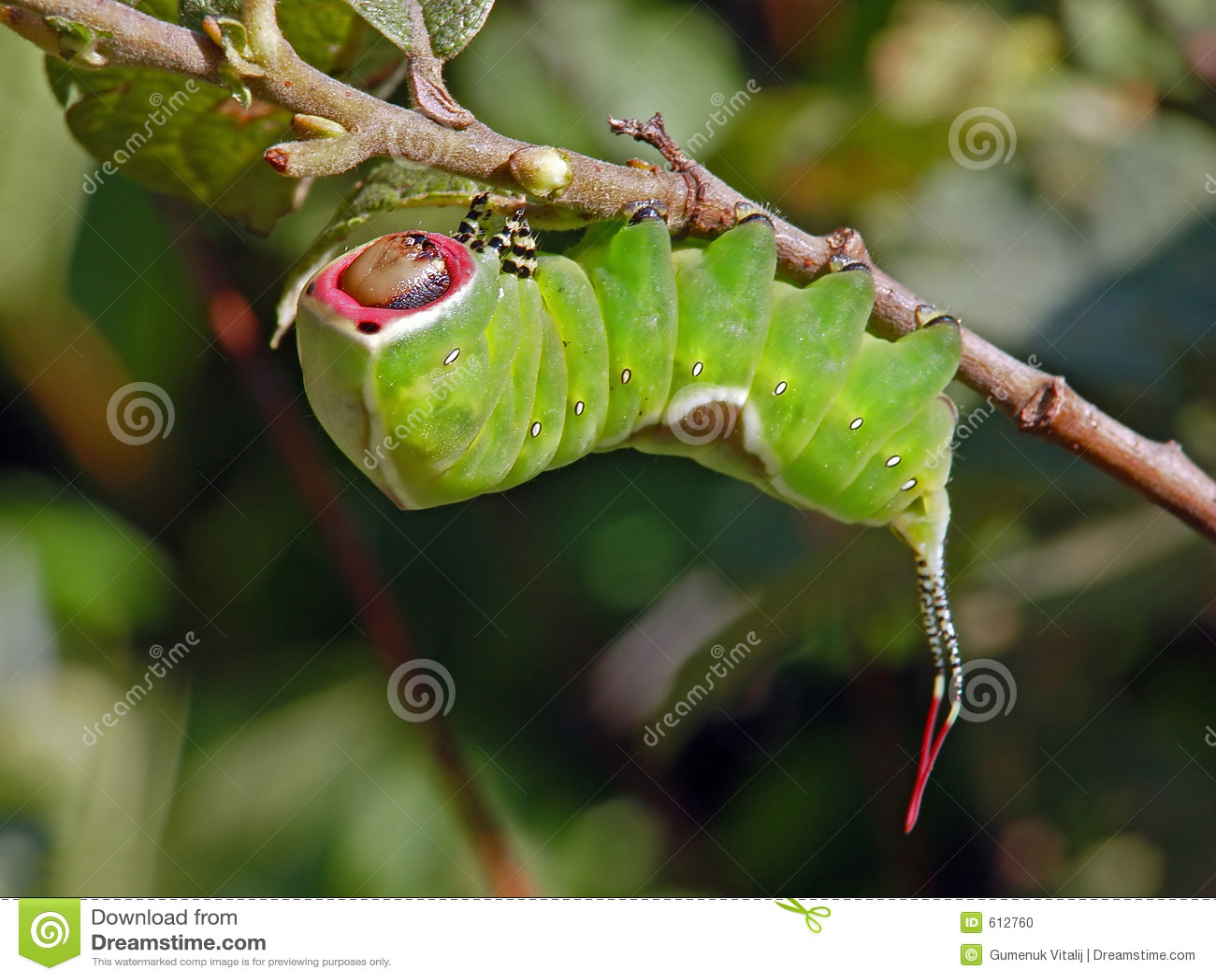 Rupsband van erminea van vlinderCerura.