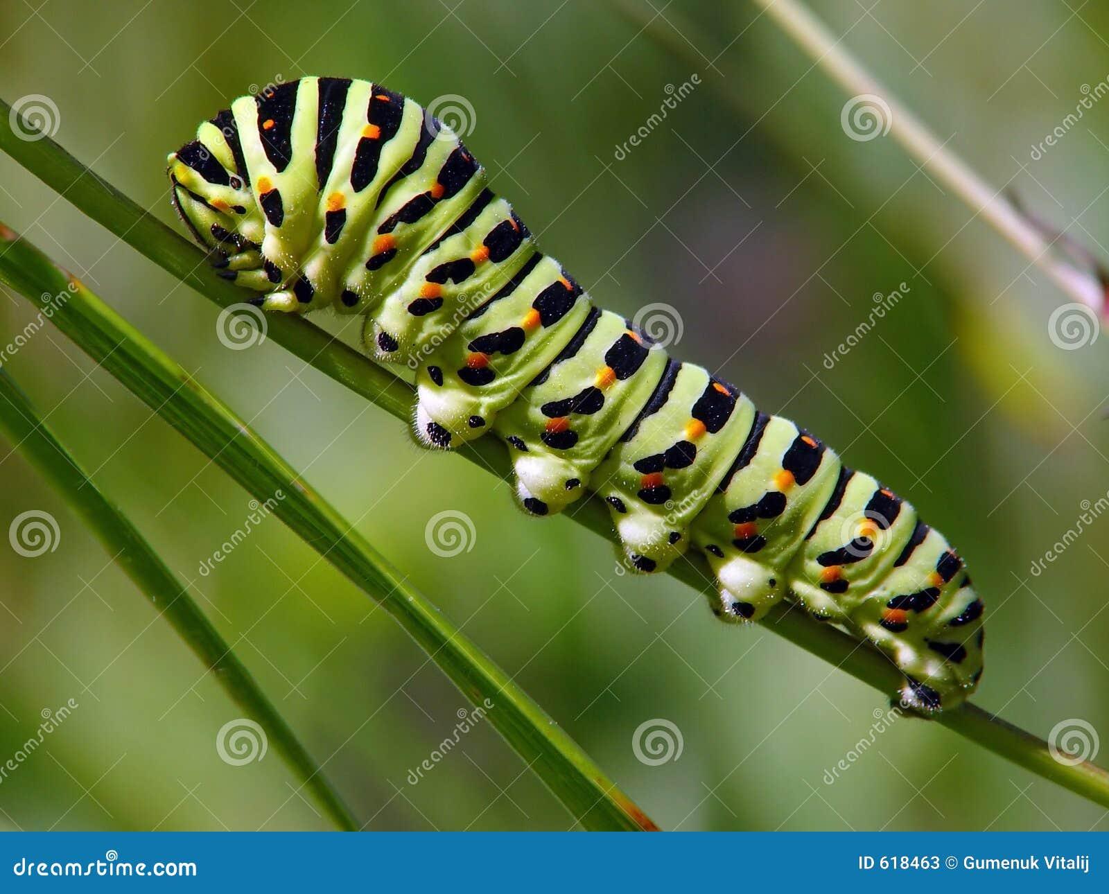 Rupsband van vlinder Papilio machaon.