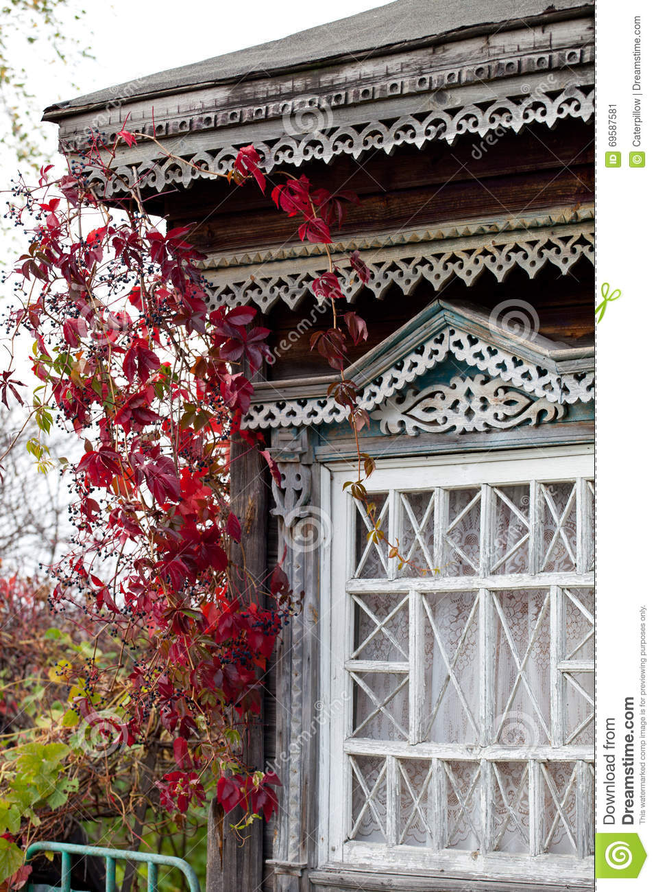 Rural house window twined with autumn virginia creeper (Parthenocissus quinquefolia)