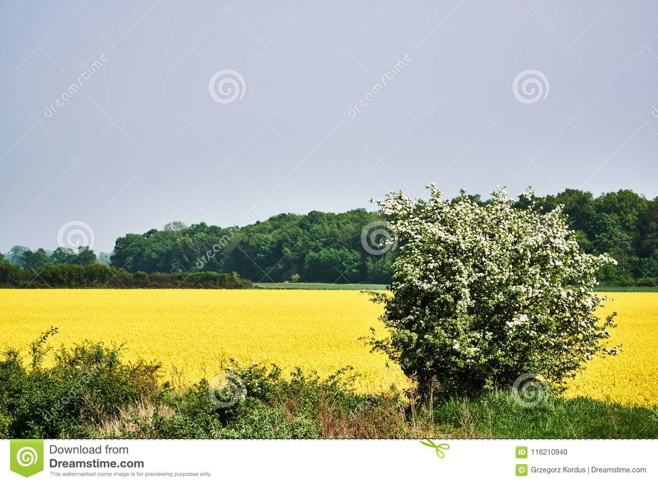 Rural landscape with a blossoming rapeseed