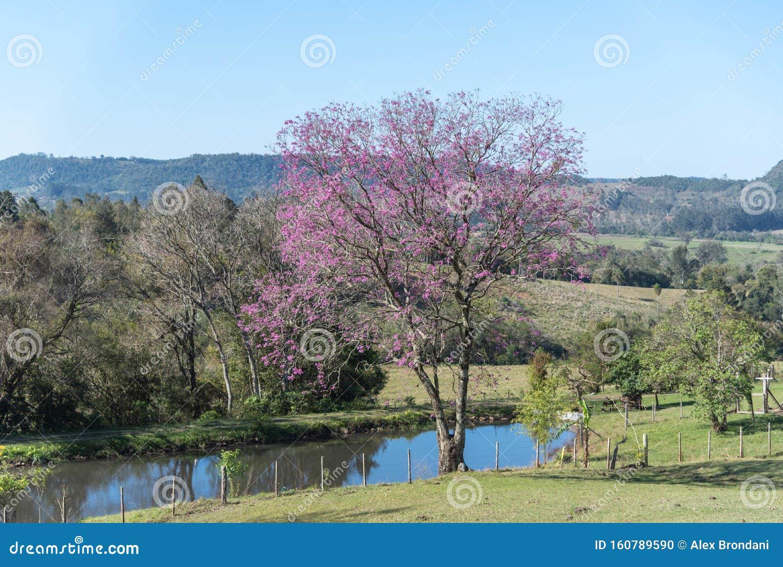Rural Landscape Purple Ipe Tree And Small Lake 01 Stock Photo