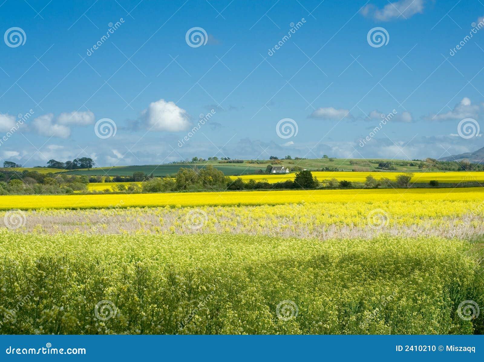 Rural Landscape Rape Blue Sk Stock Photo Image 2410210