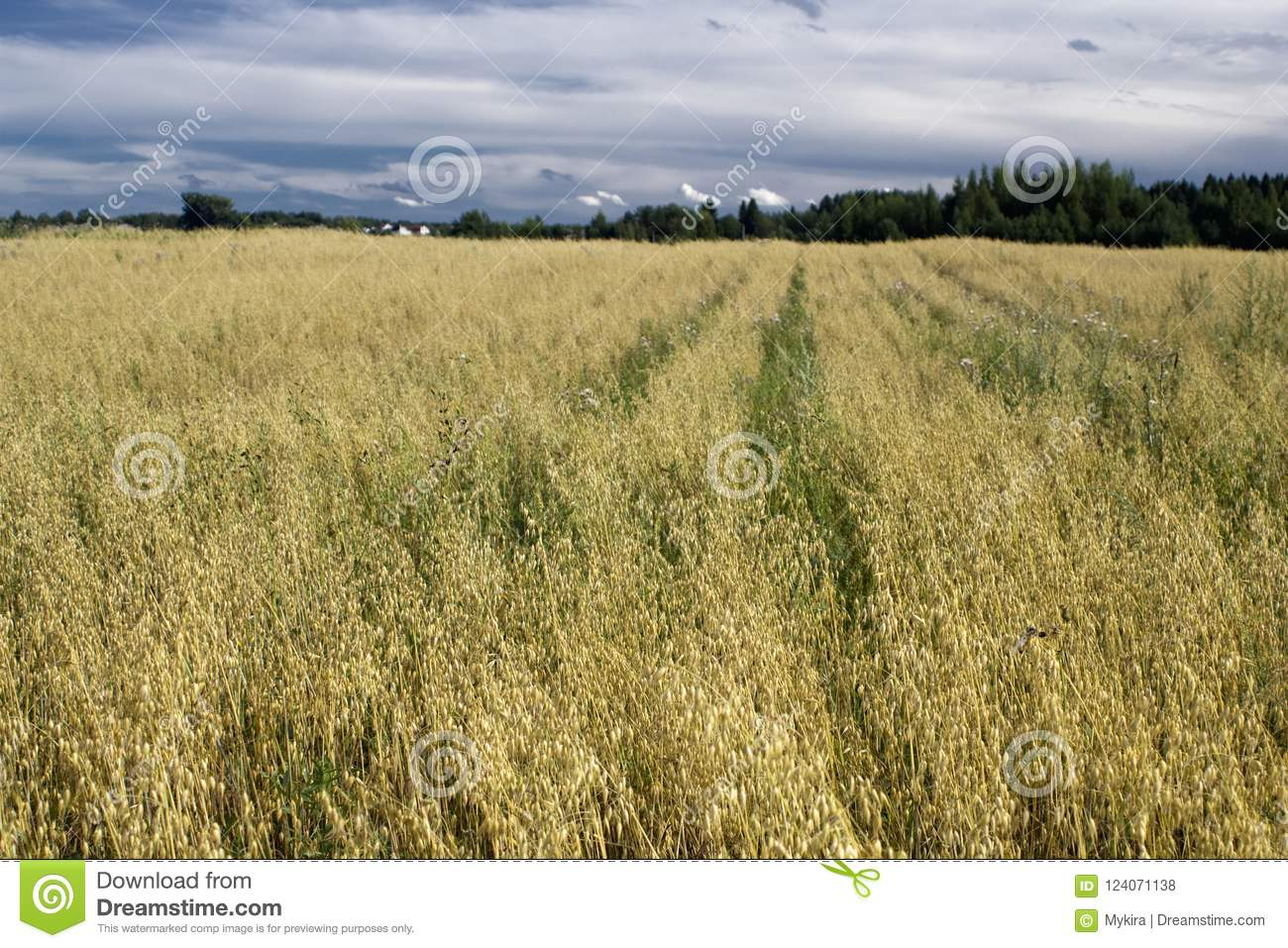 Download Rural Landscape, Terrain With Oat Fields And Cloudy Sky Stock Photo - Image of landscape, beauty: 124071138
