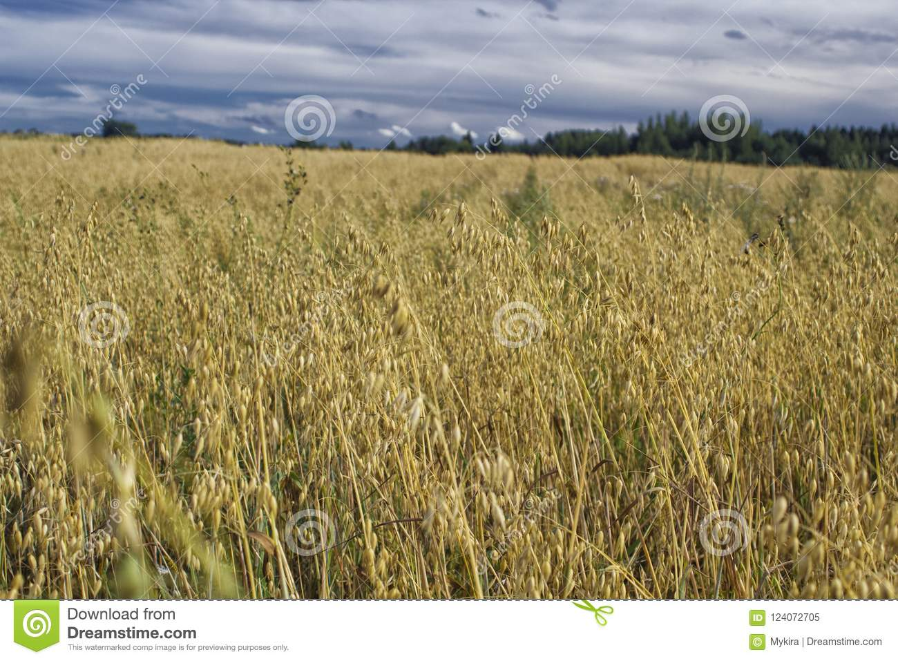 Download Rural Landscape, Terrain With Oat Fields And Cloudy Sky Stock Image - Image of flora, grass: 124072705