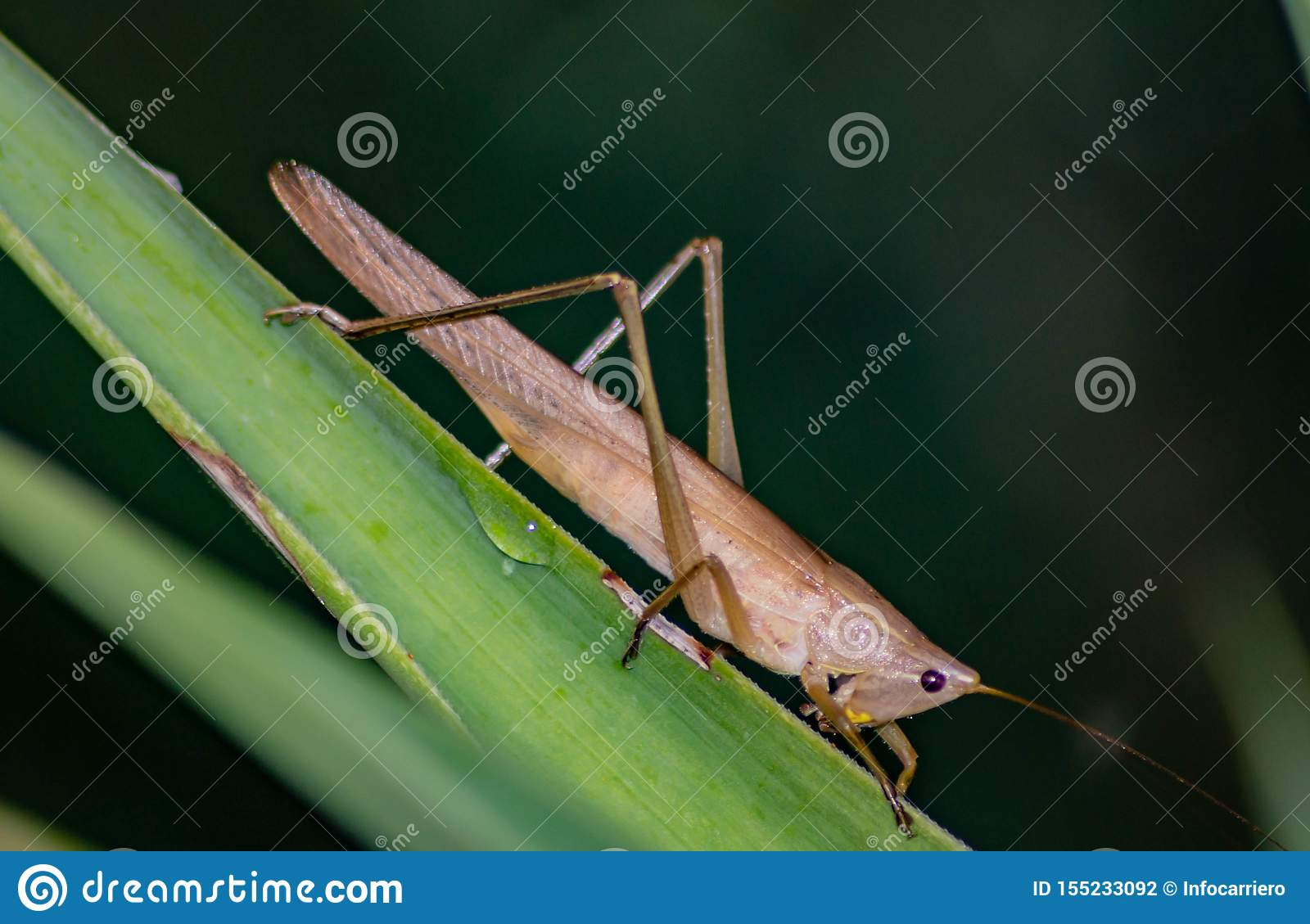 Ruspolia nitidula This grasshopper lives in wet and grassy areas but adapts to many habitats including the urban one. The frinito