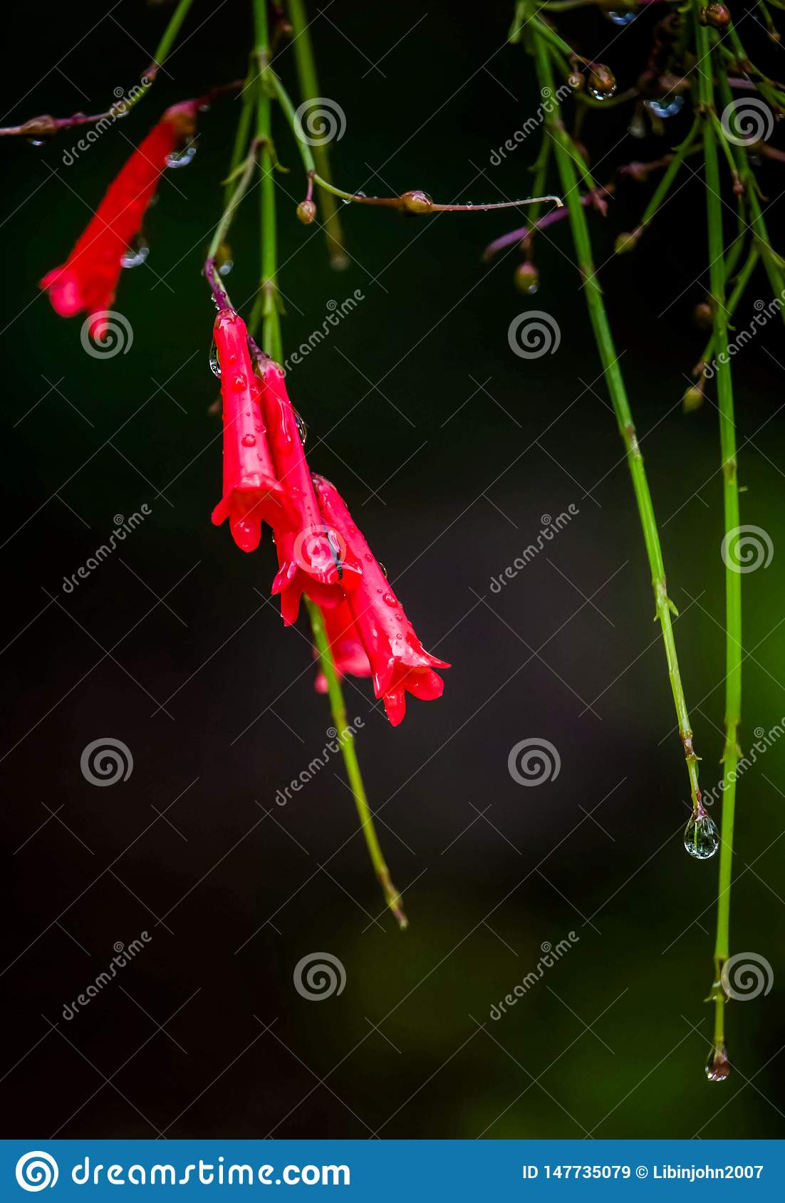 Russelia equisetiformis, commonly known as fountainbush, firecracker plant, coral plant, coral fountain, coralblow and fountain