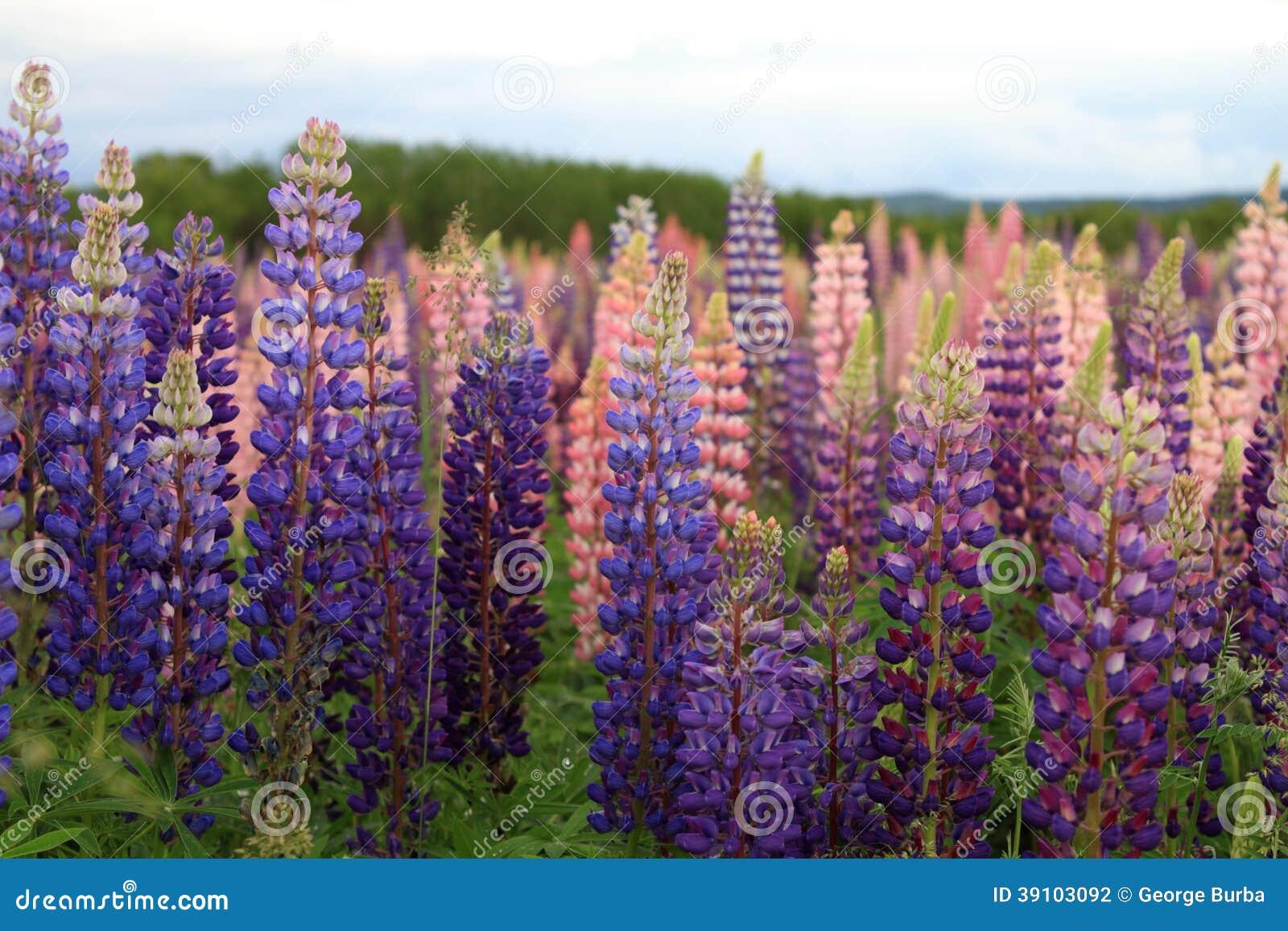 Russell Lupin-bloemen