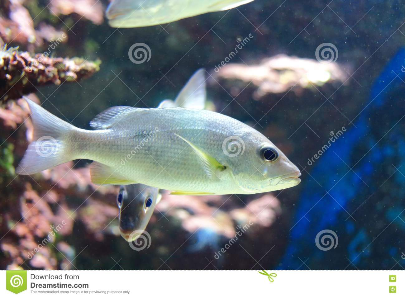 Russell's snapper stock image  Image of fish, native - 76851963