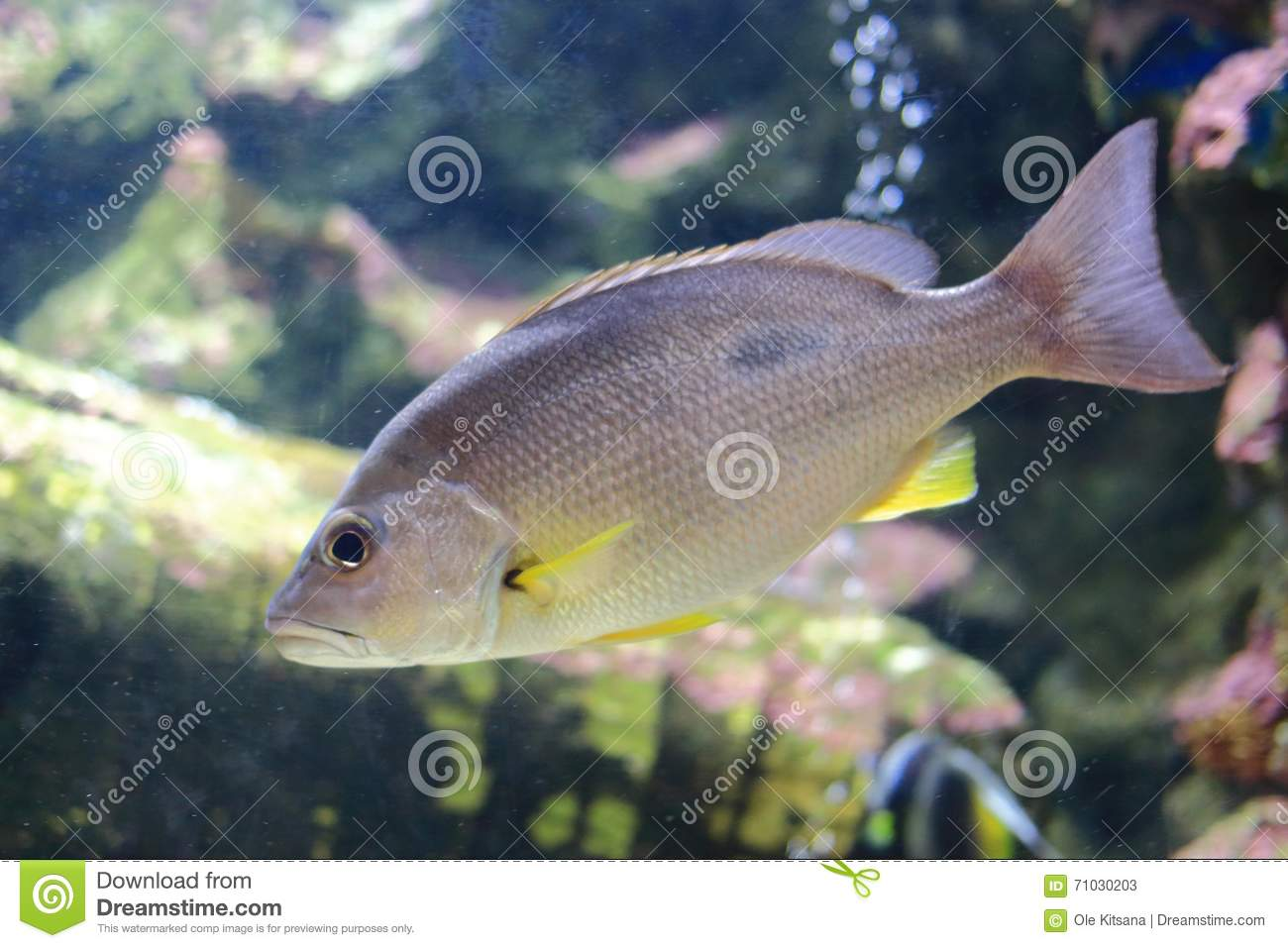 Russell's Snapper Or Moses Perch Stock Image - Image of fish, ocean