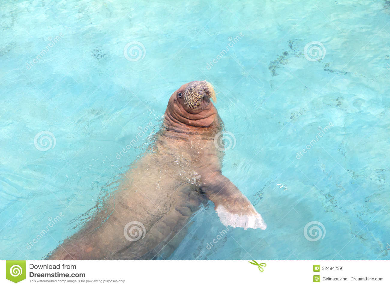 Russia  Moscow Zoo  Walrus  Stock Image - Image of mammals