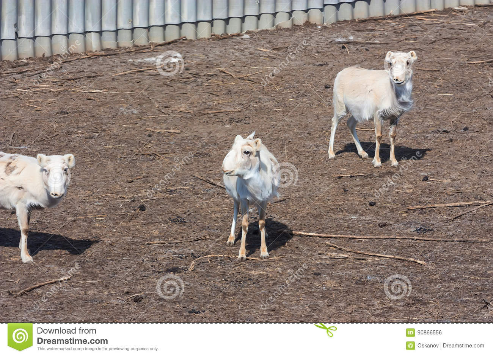 Russian antelope or Saiga tatarica