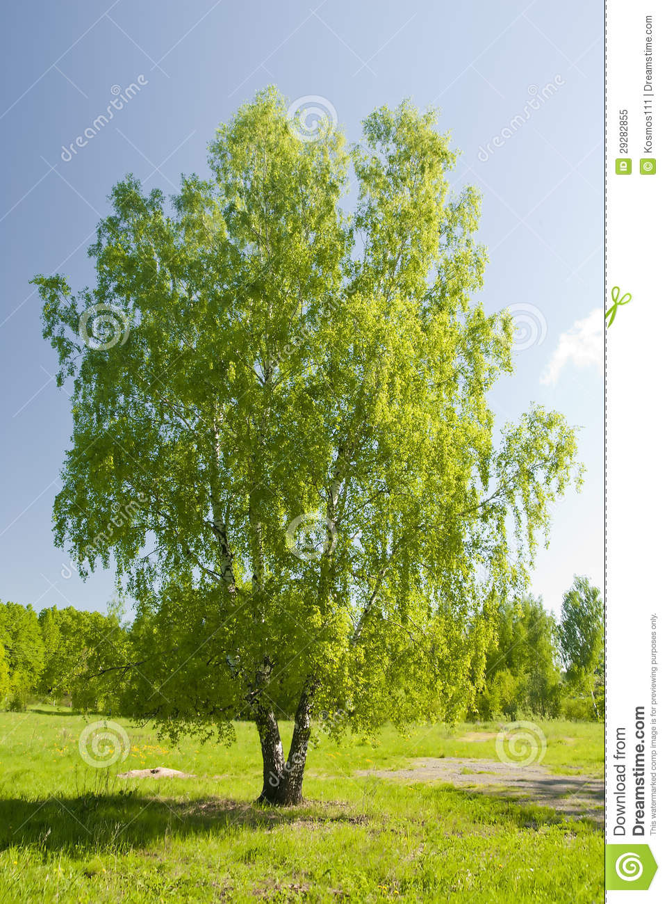 russian birch tree standing alone stock image image. Black Bedroom Furniture Sets. Home Design Ideas