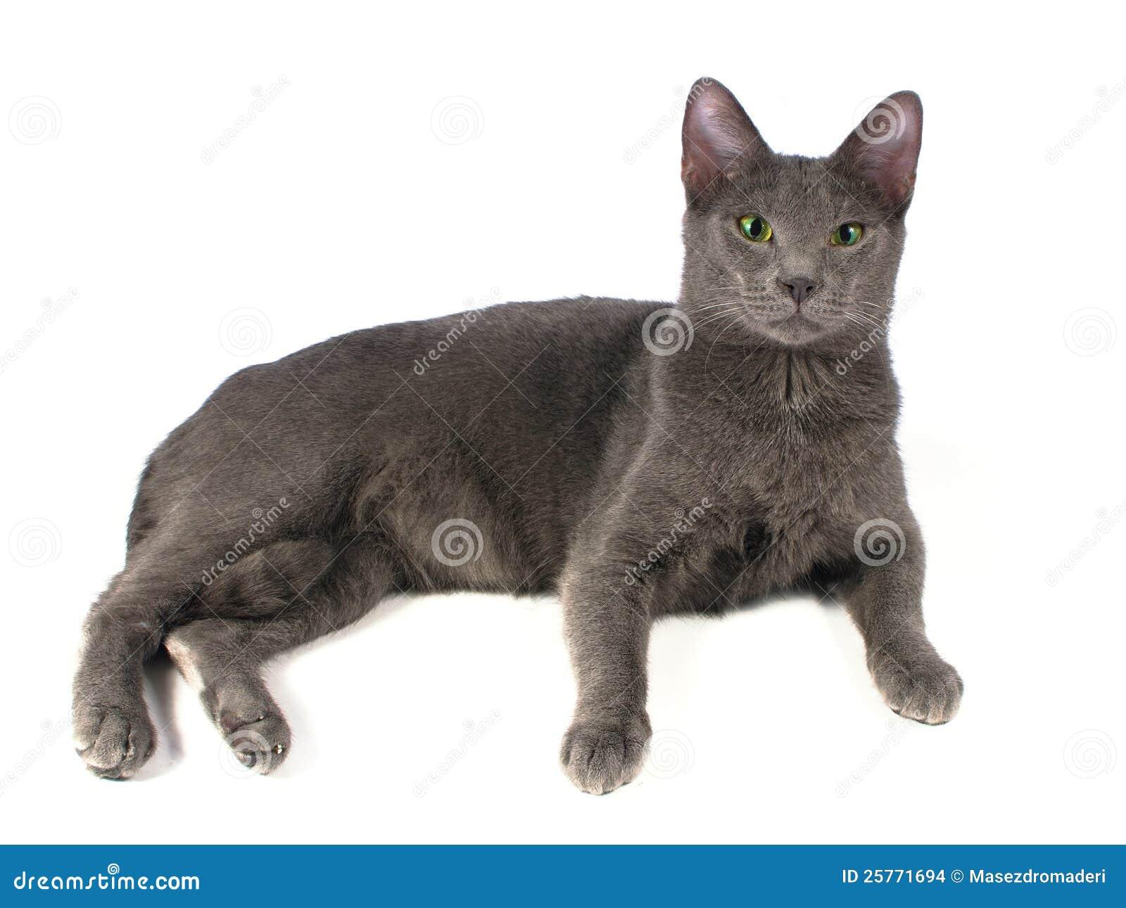 Russian Blue Cat Stock