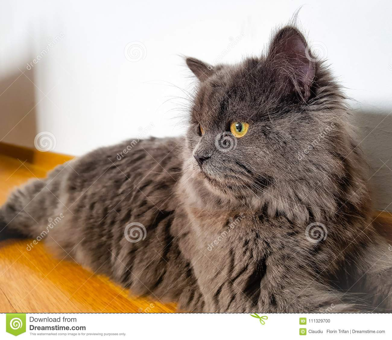 Russian Blue Cat Stock Photo Image Of Domestic Adorable 111329700