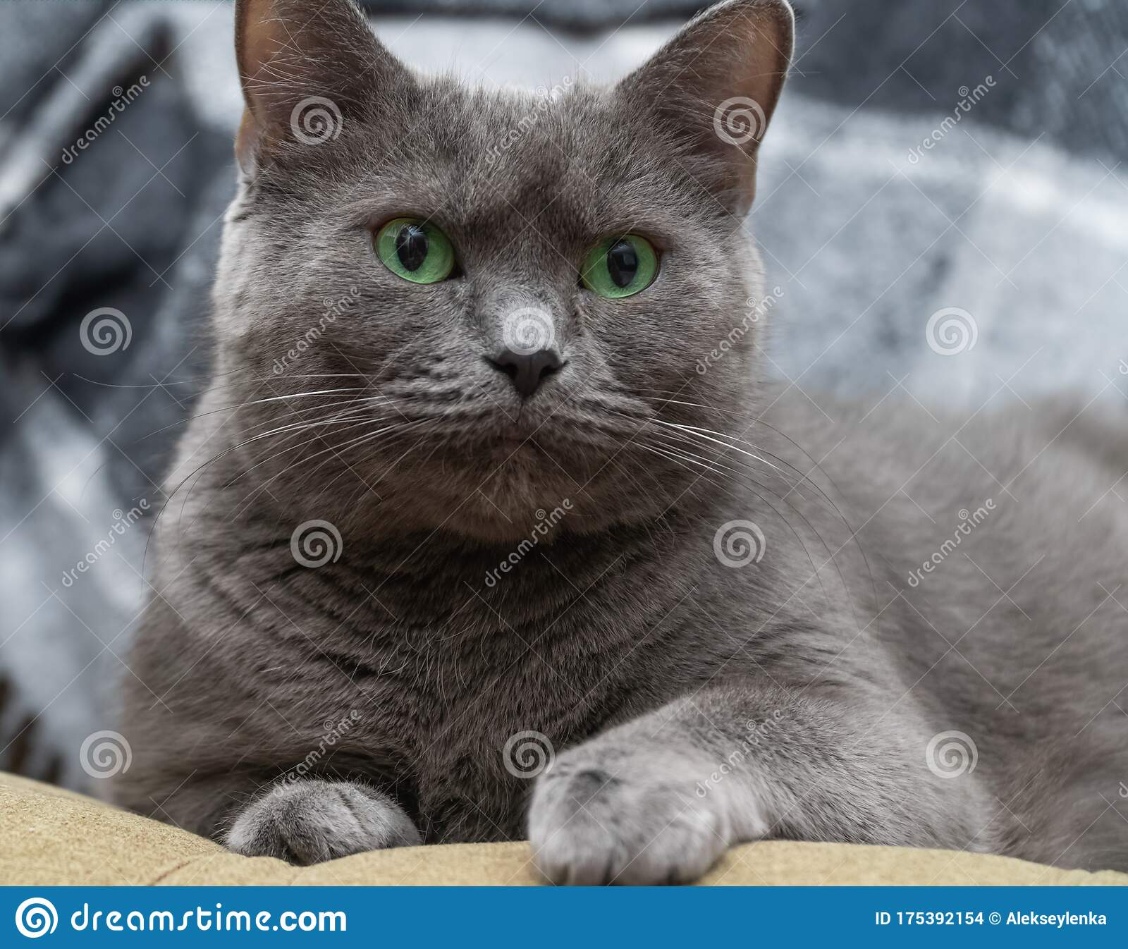 Russian Blue Cat On White Cat Russian Blue Sleepy Sweet Relax Portrait Pedigreed Isolated Portrait Studio Shot White Stock Photo Image Of Mammal Like 175392154