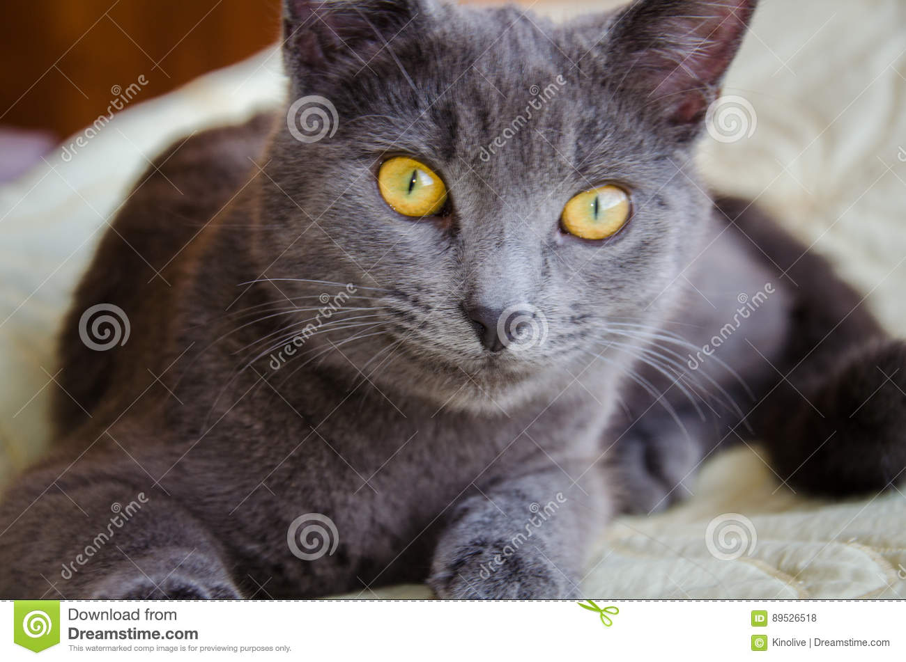 The Russian Blue Cat With Yellow Eyes Stock Image