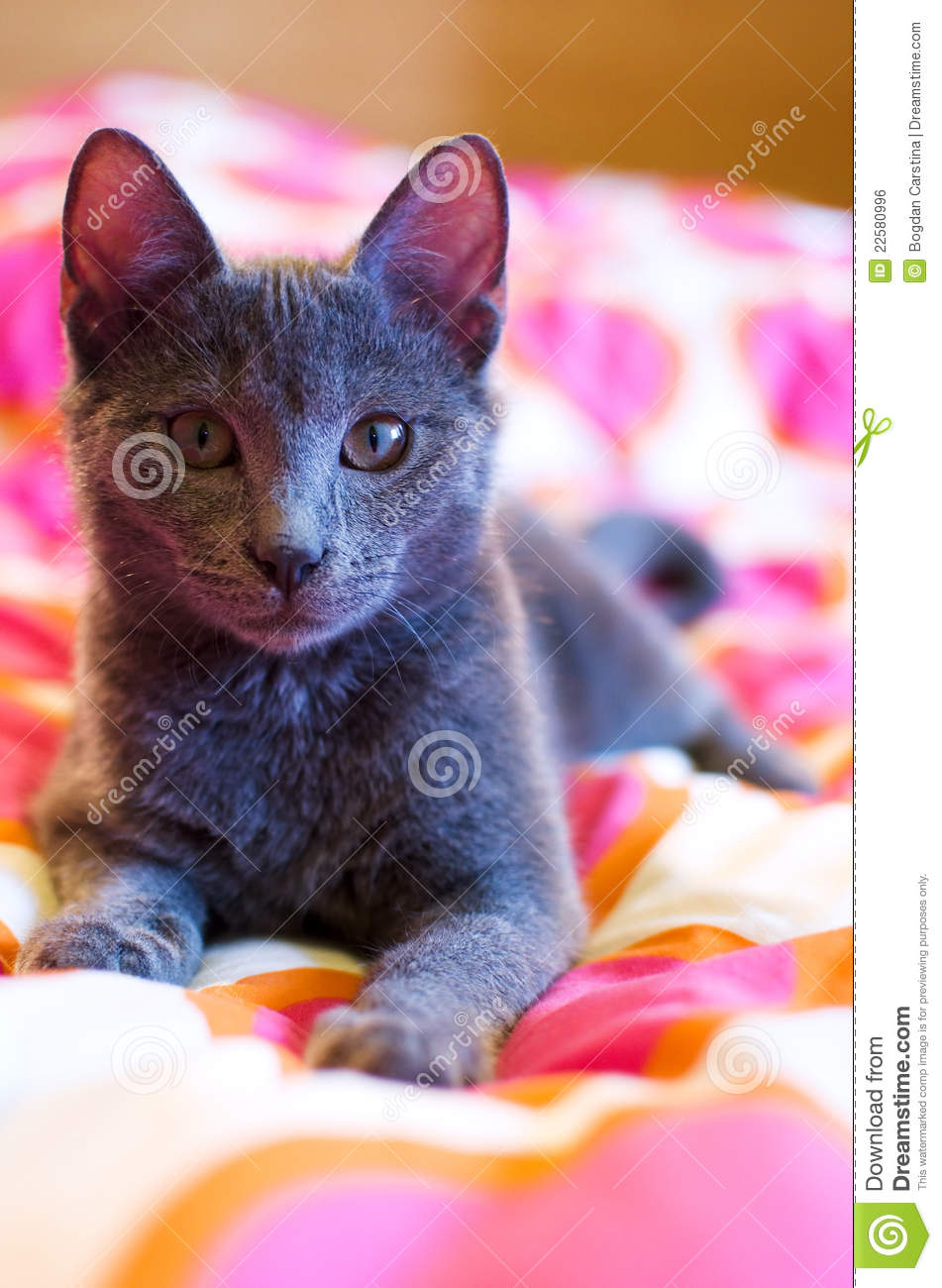 russian blue kitten pictures