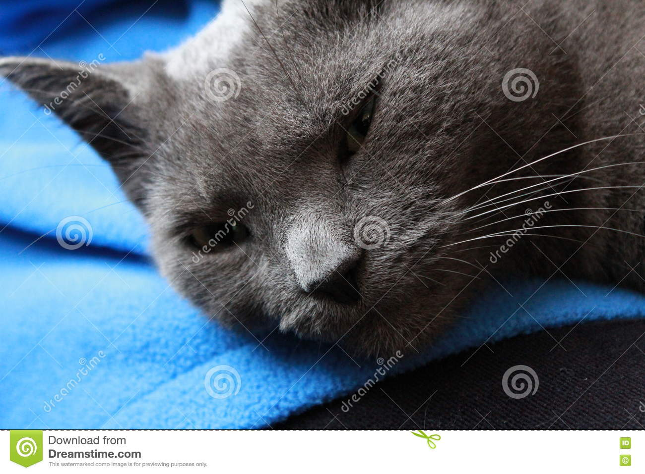 Russian Blue Grey Cat Laying A Lap Stock Image