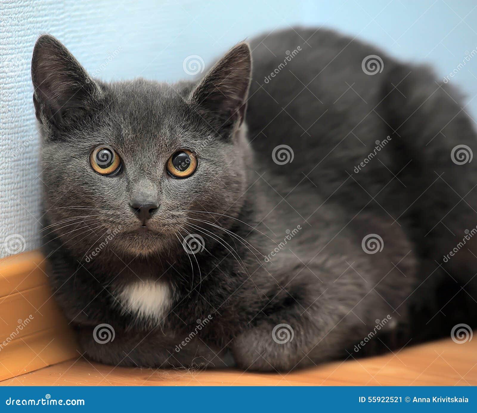 Russian Blue Kitten Stock Image