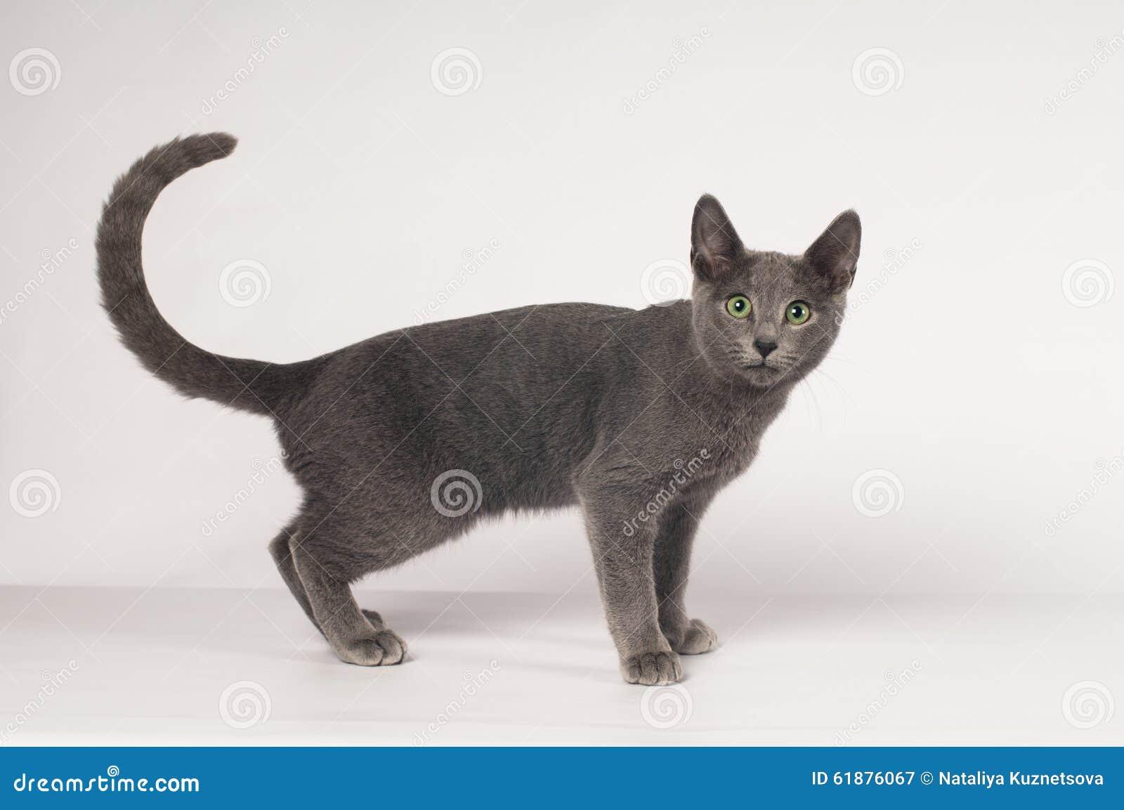 Russian Blue Purebred Kitten Stock Image