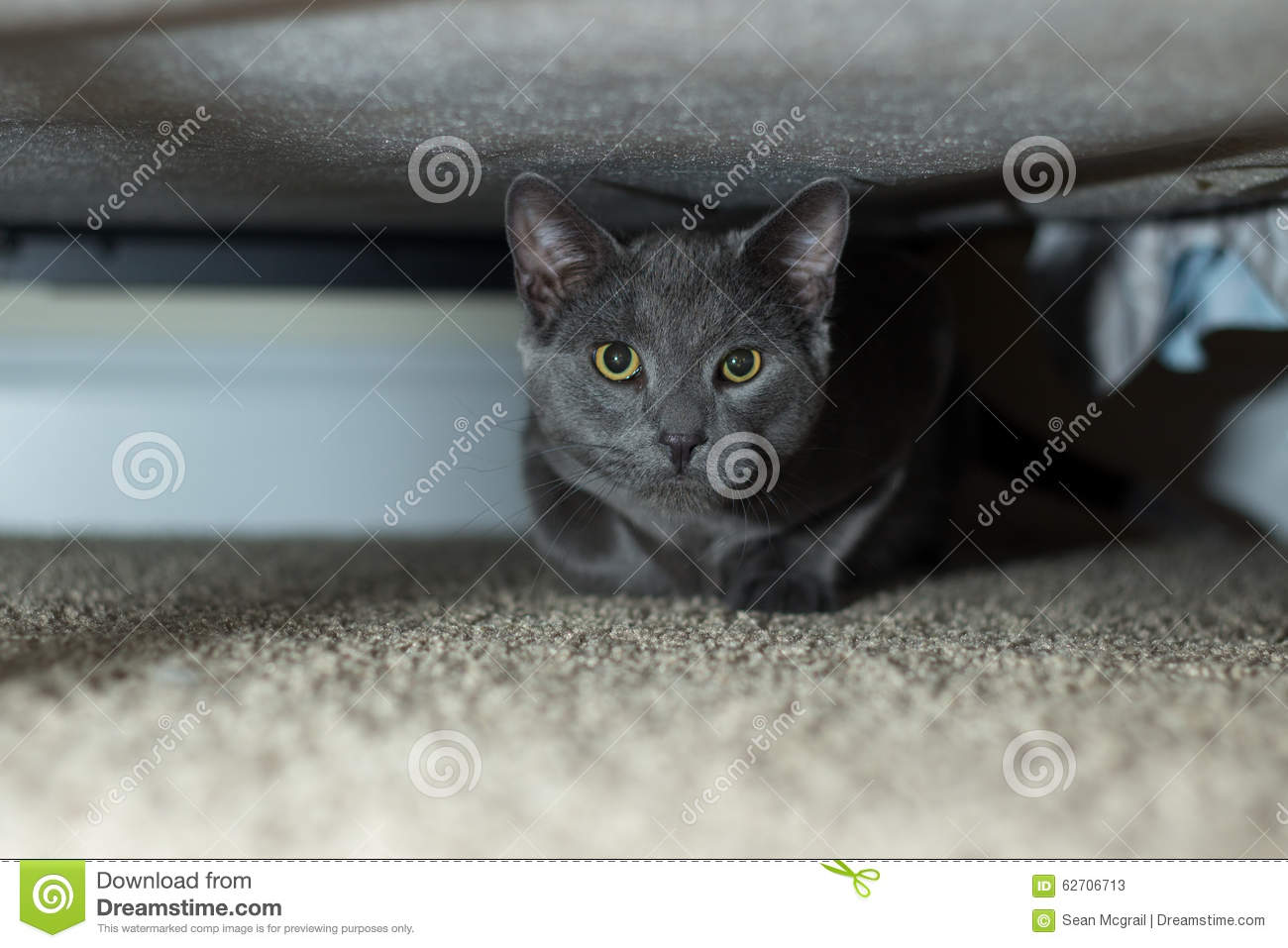 russian-blue-under-bed-cat-prowl-6270671