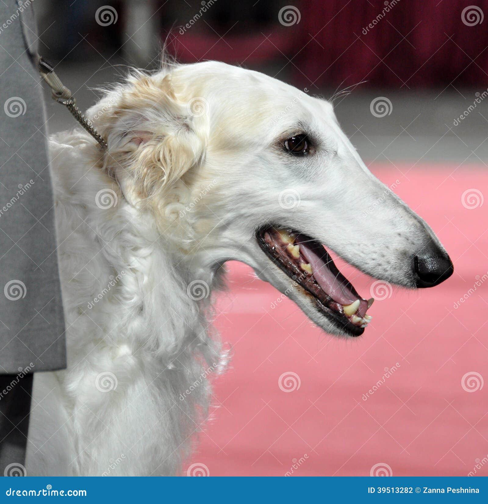 Russian Borzoi - Wolfhound dog