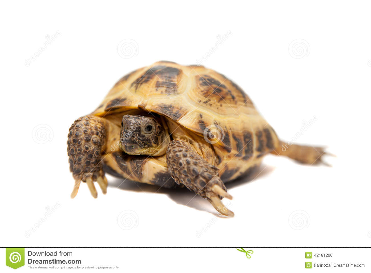 Russian or Central Asian tortoise on white