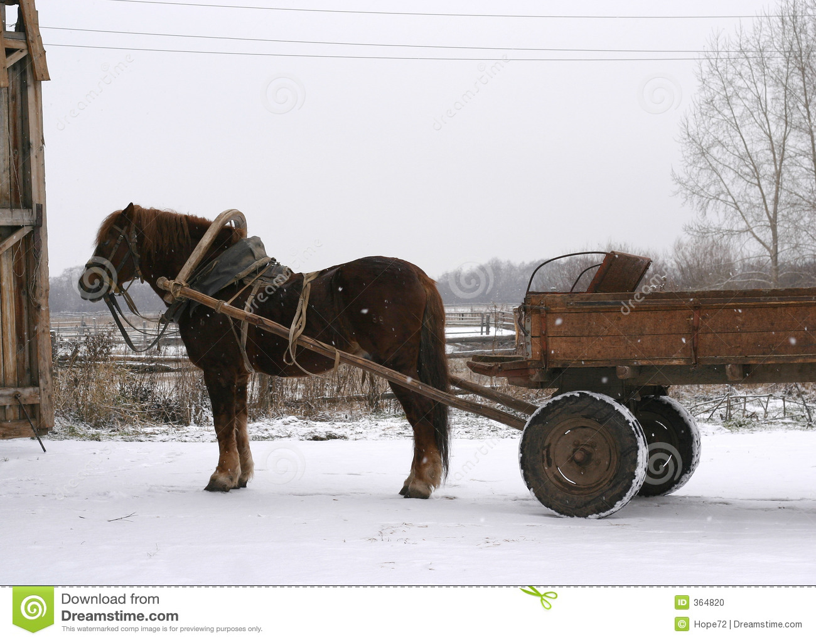 A Russian shire horse