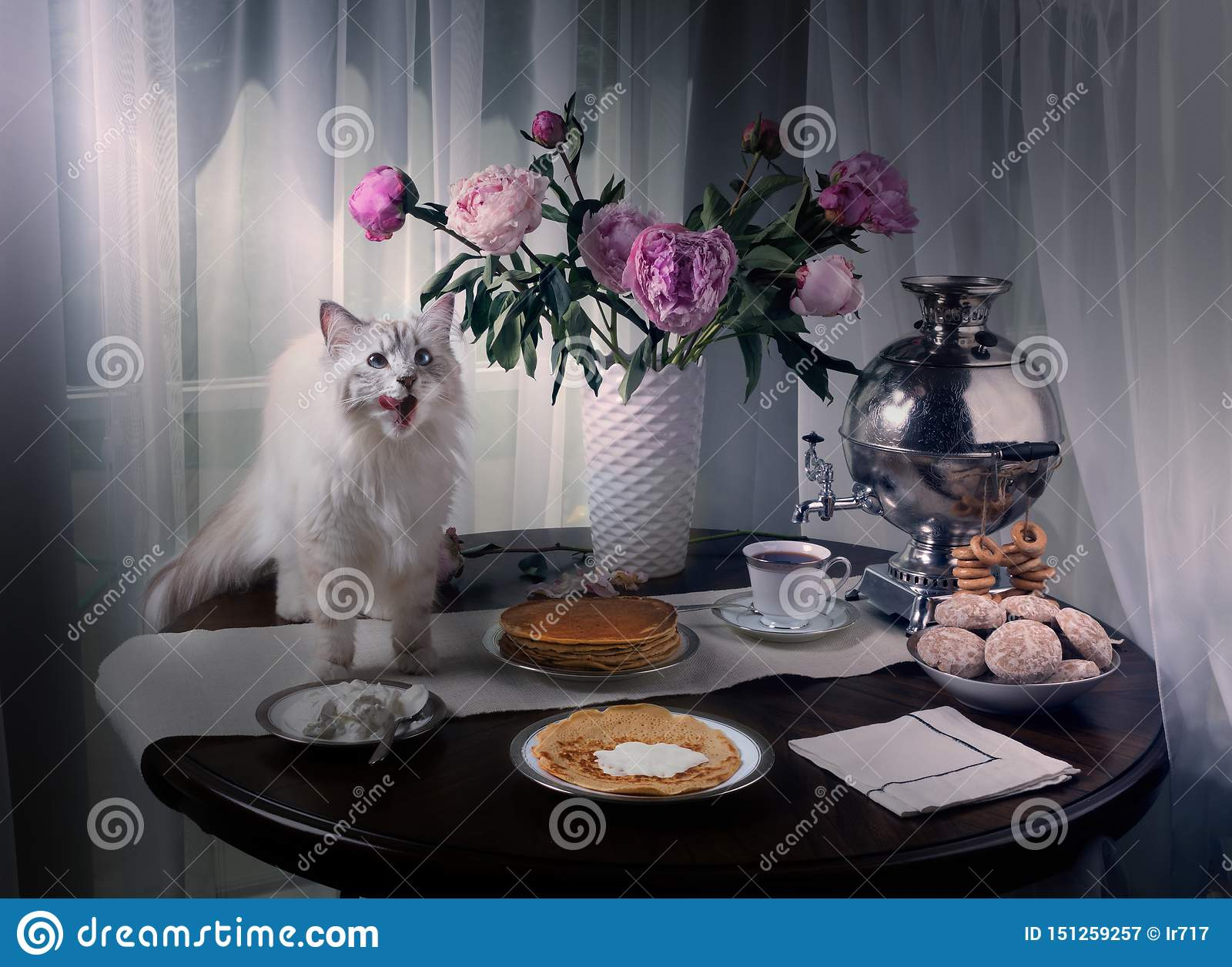 Russian Siberian cat climbed on the table and licked. On the table samovar, pancakes, sour cream and tea