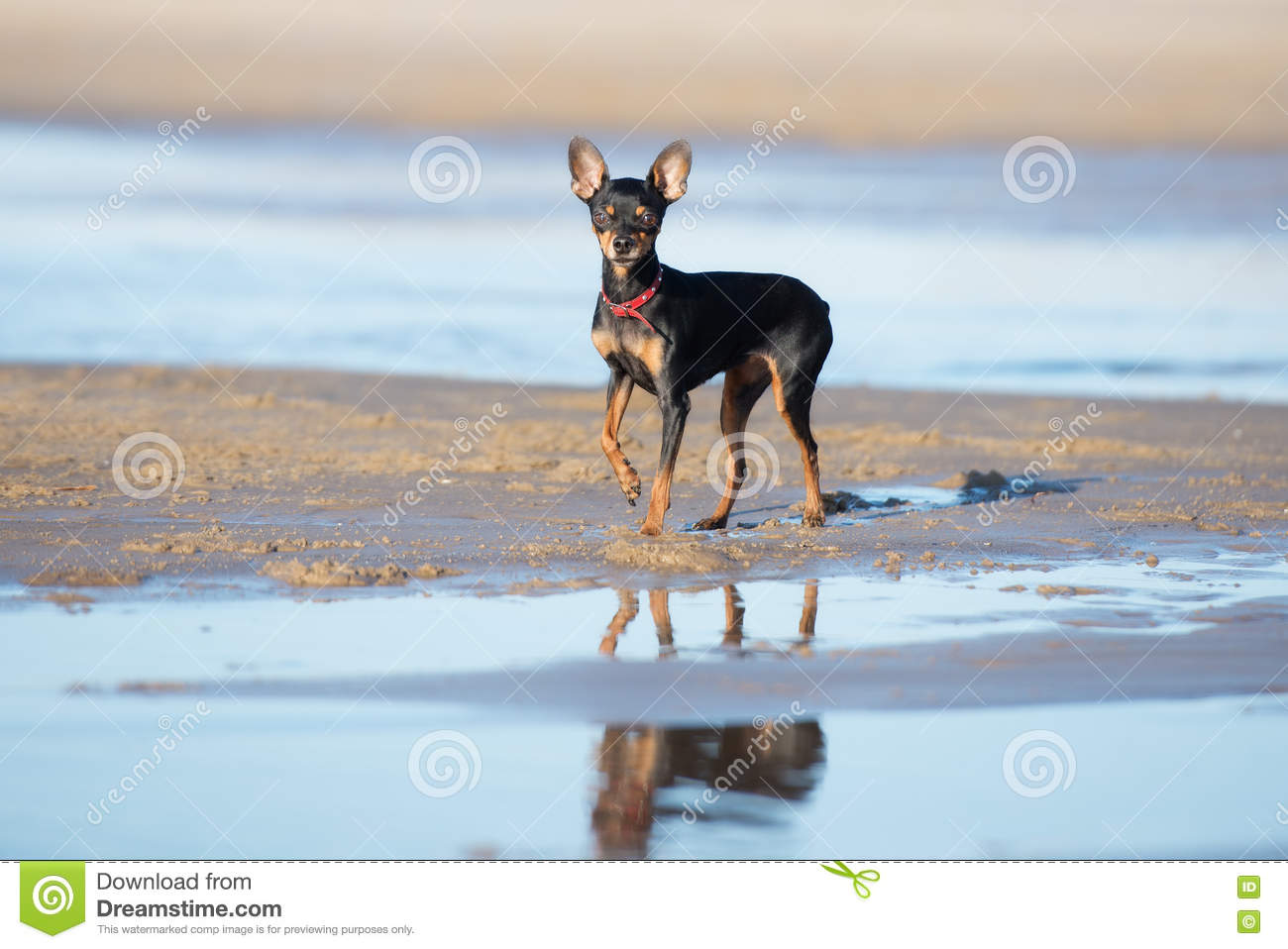 Download Russian Toy Dog Posing On The Beach Stock Image - Image of lovely, cute: 70288557