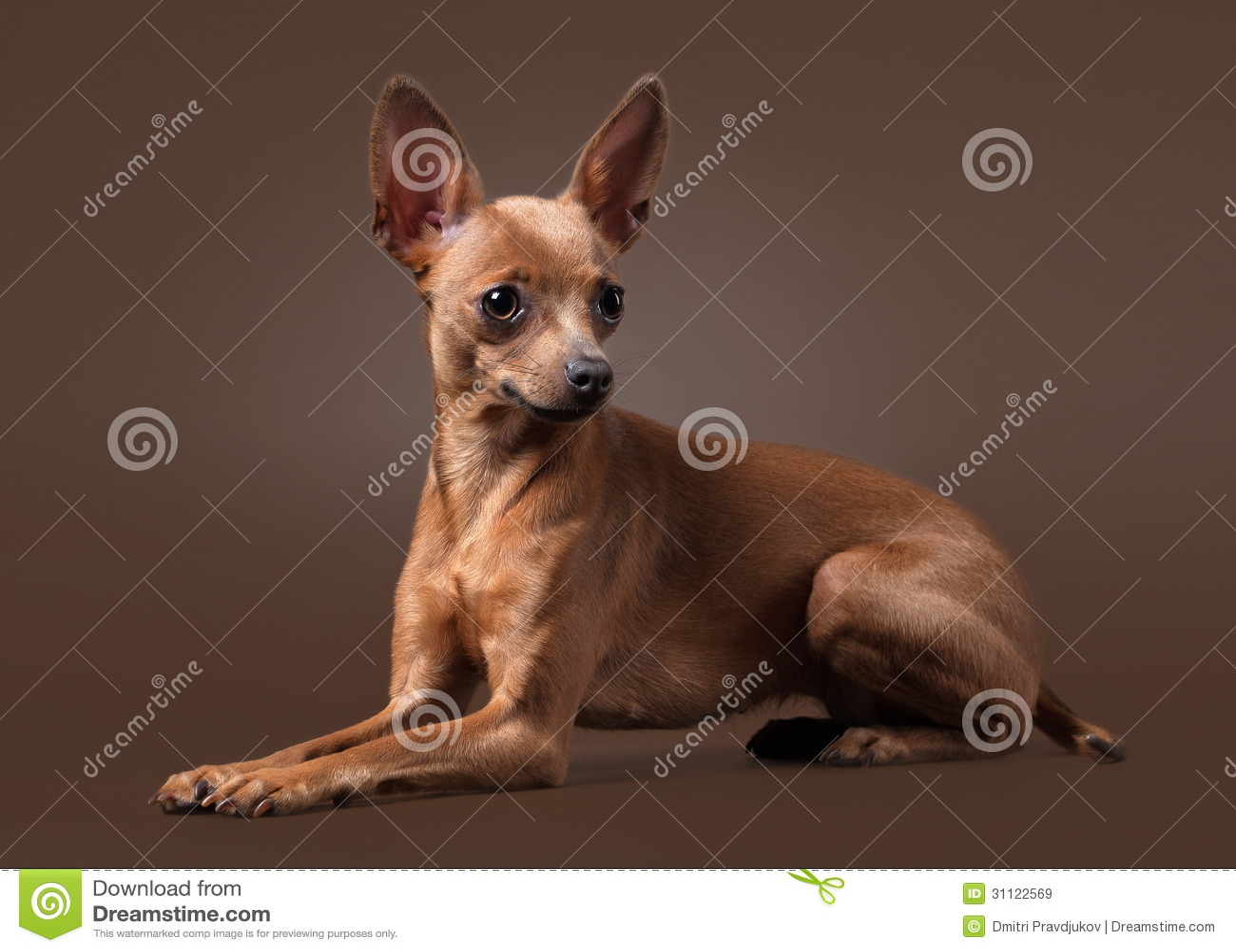 İngiliz Toy Terrier