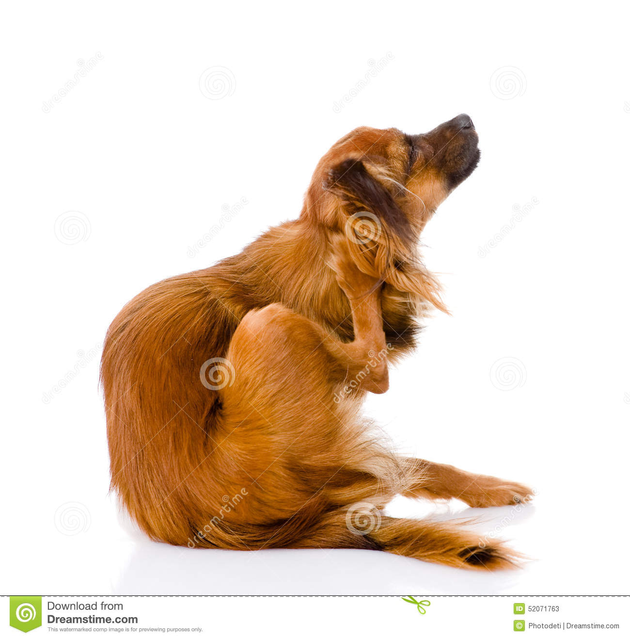 Russian toy terrier scratching. isolated on white background