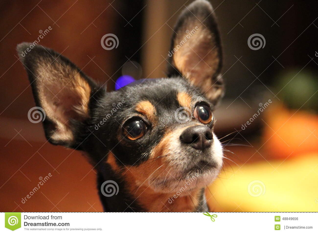 Russian Toy Terrier Small Dog Pocket Dog Stock Photo