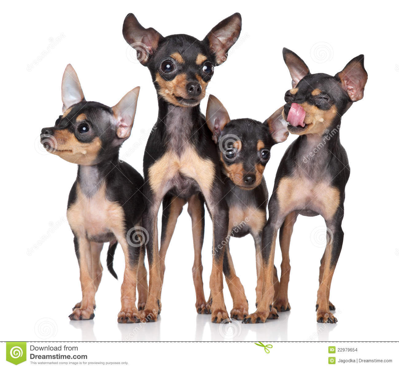 Group Toy Dogs : Russian toy terriers dogs group stock photo image