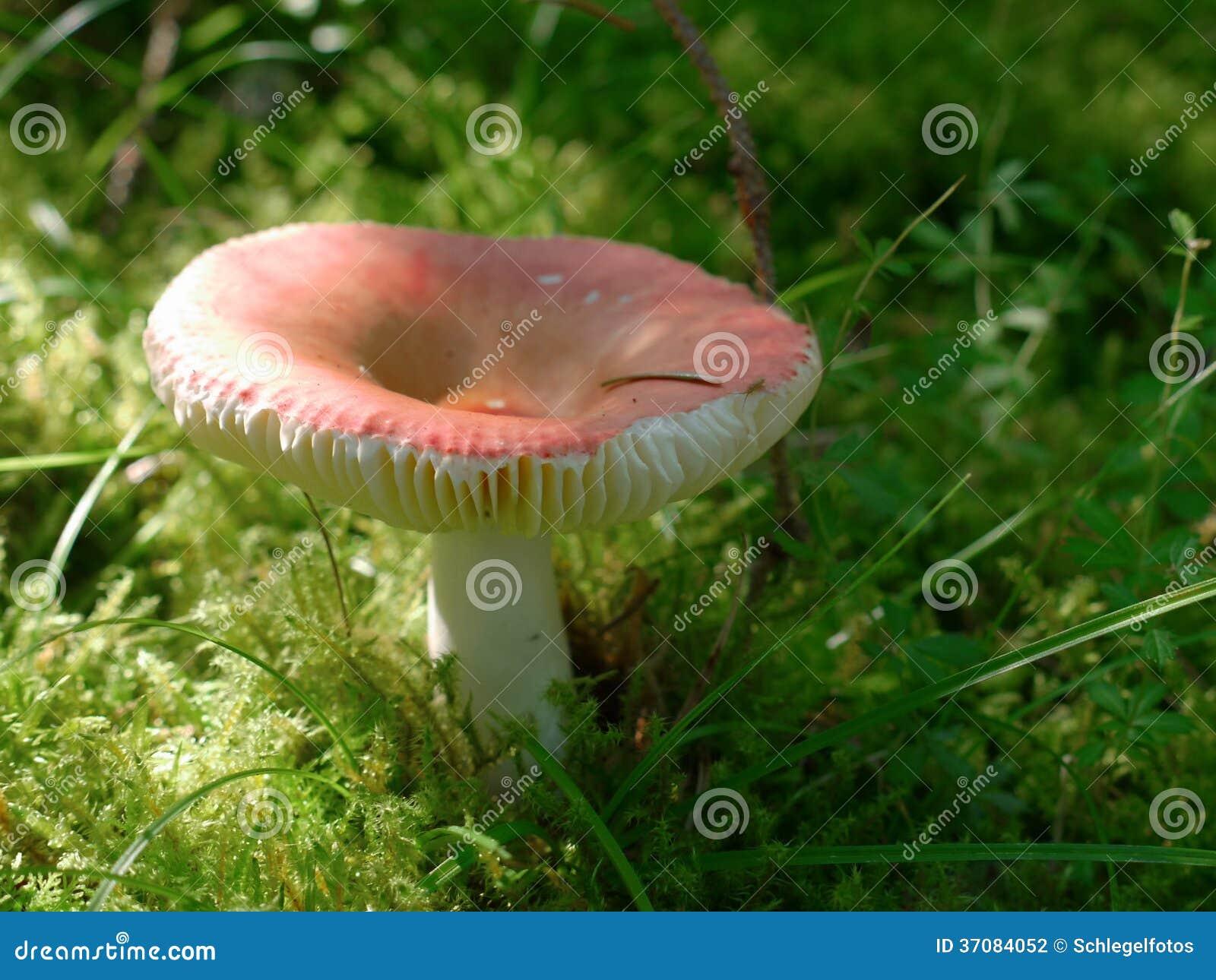 Download Russula pieczarka w mech zdjęcie stock. Obraz złożonej z mały - 37084052