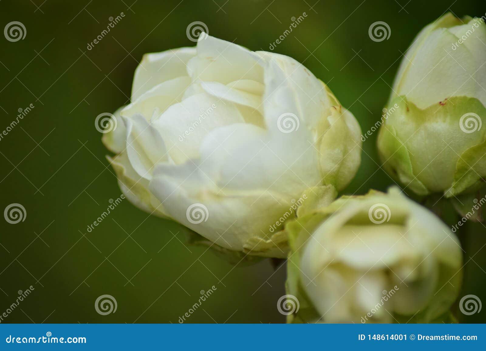 Rustic white garden rose