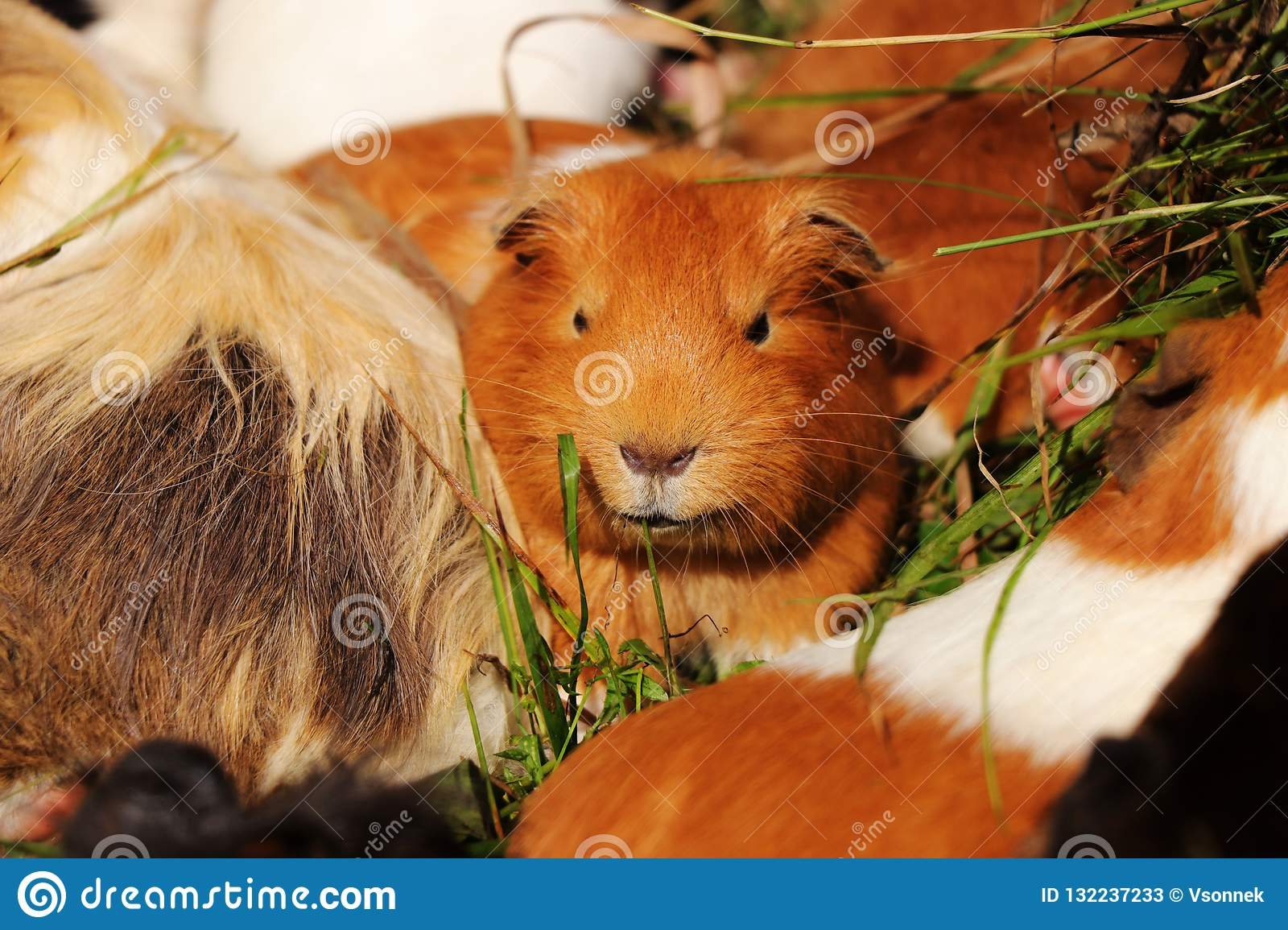 A rusty guinea pig lying in grass with other guys. He is watching some buddies. Leader of gunea pigs