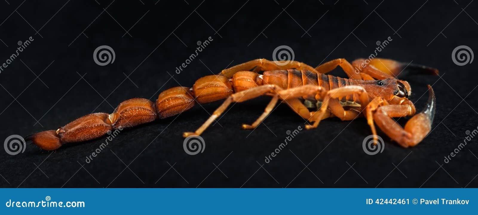 Rusty Thick Tail Scorpion