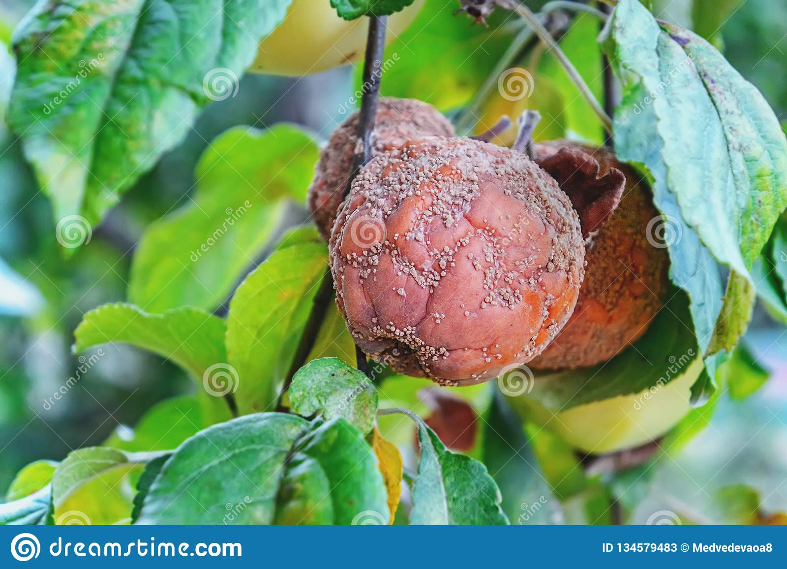 Ruttet äpple som hänger på äpplet, moniliozäpple