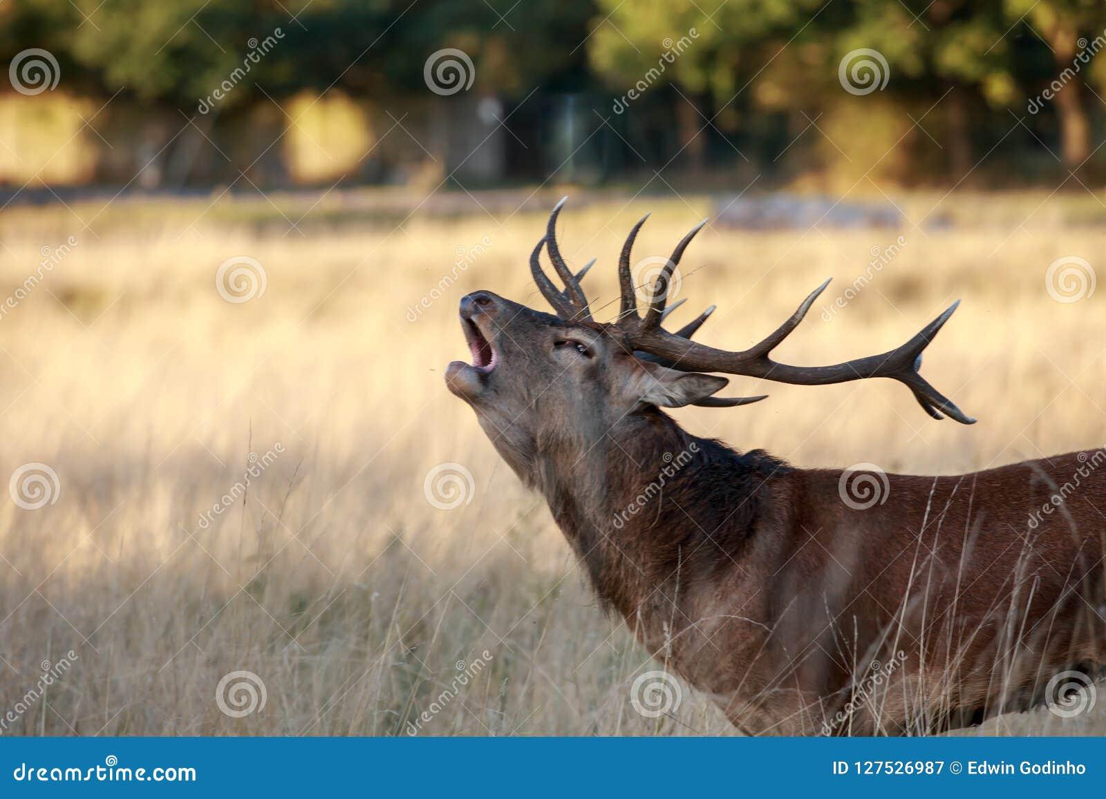 Rutting czerwonego rogacza jeleń bellowing w górę zakończenia