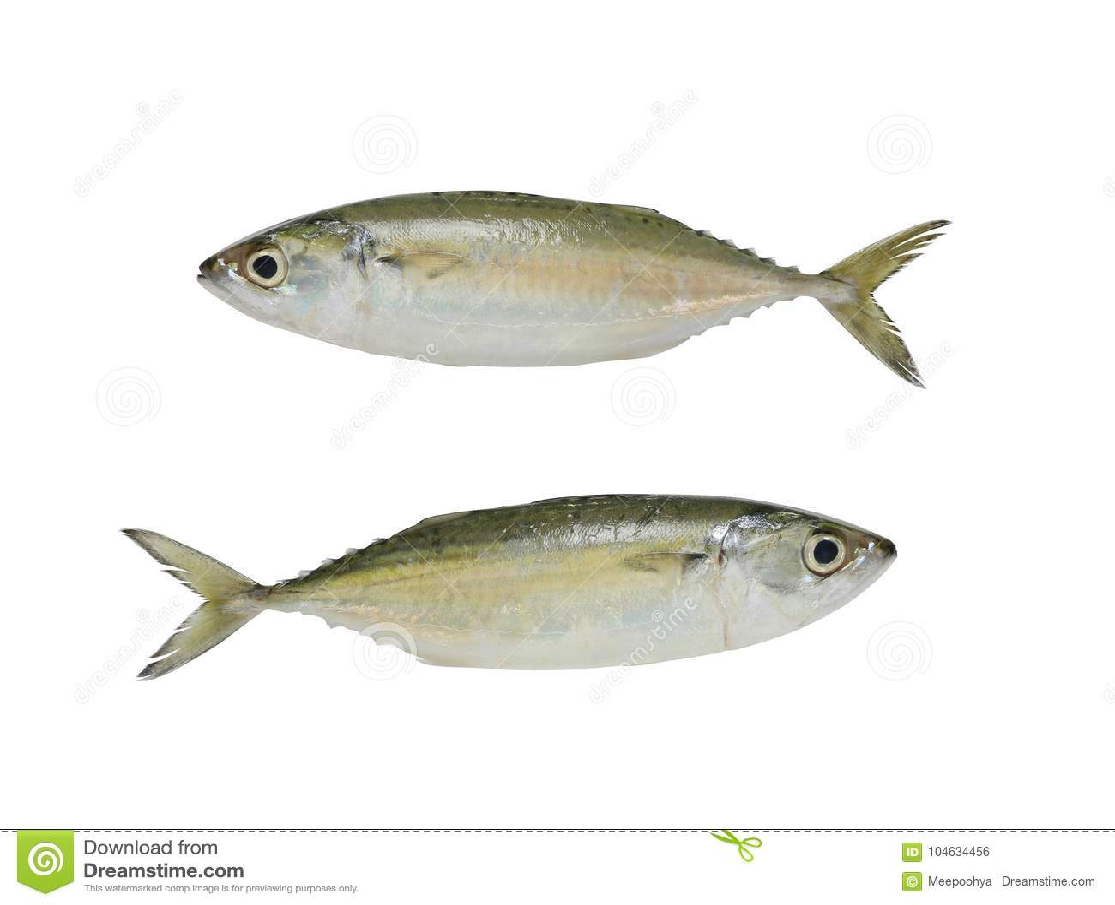 Download Ruwe Die Makreel Of Rastrelliger-brachysomavissen Op Witte B Worden Geïsoleerd Stock Foto - Afbeelding bestaande uit gezond, preparing: 104634456