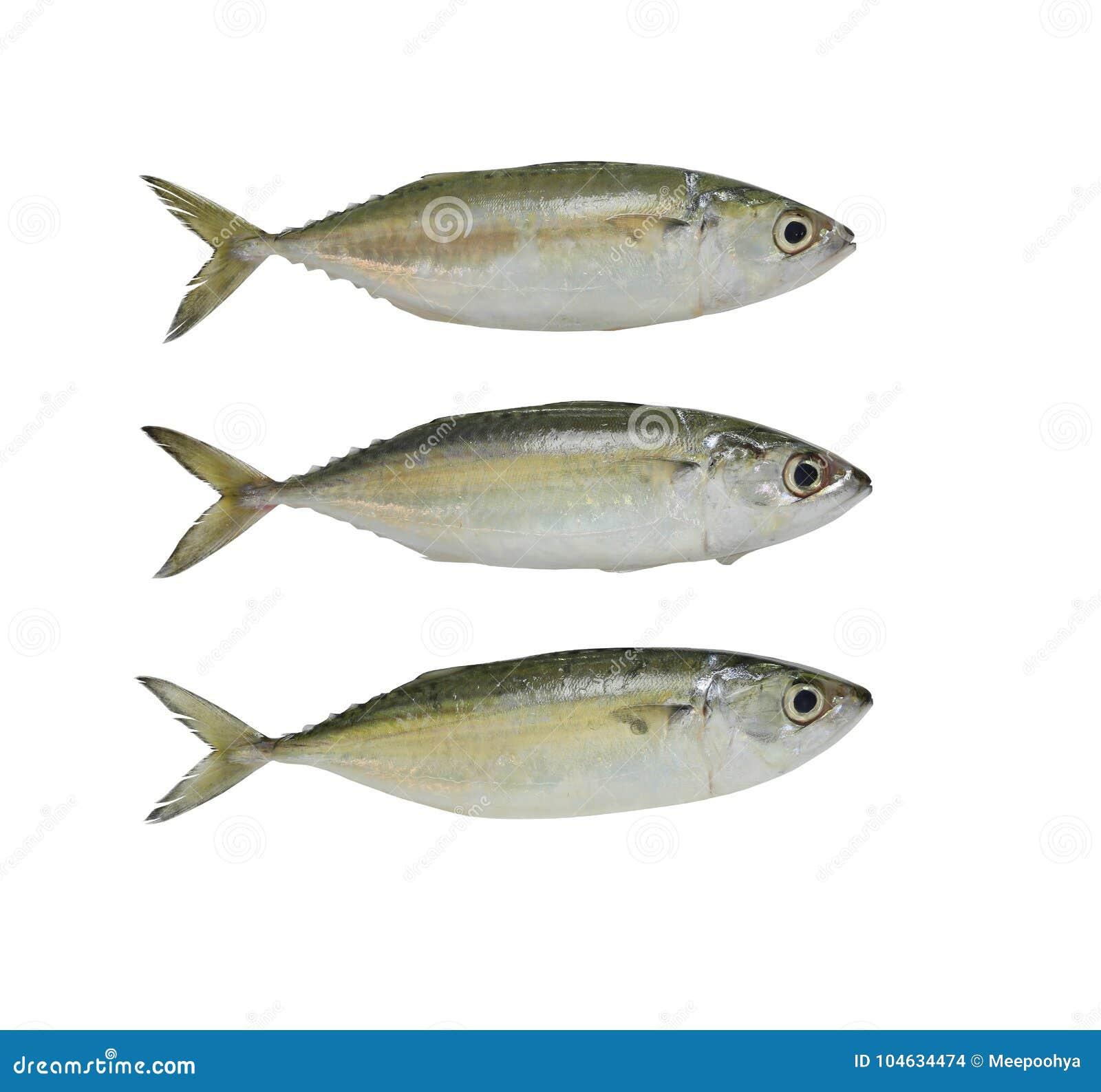 Download Ruwe Die Makreel Of Rastrelliger-brachysomavissen Op Witte B Worden Geïsoleerd Stock Foto - Afbeelding bestaande uit vreedzaam, keuken: 104634474