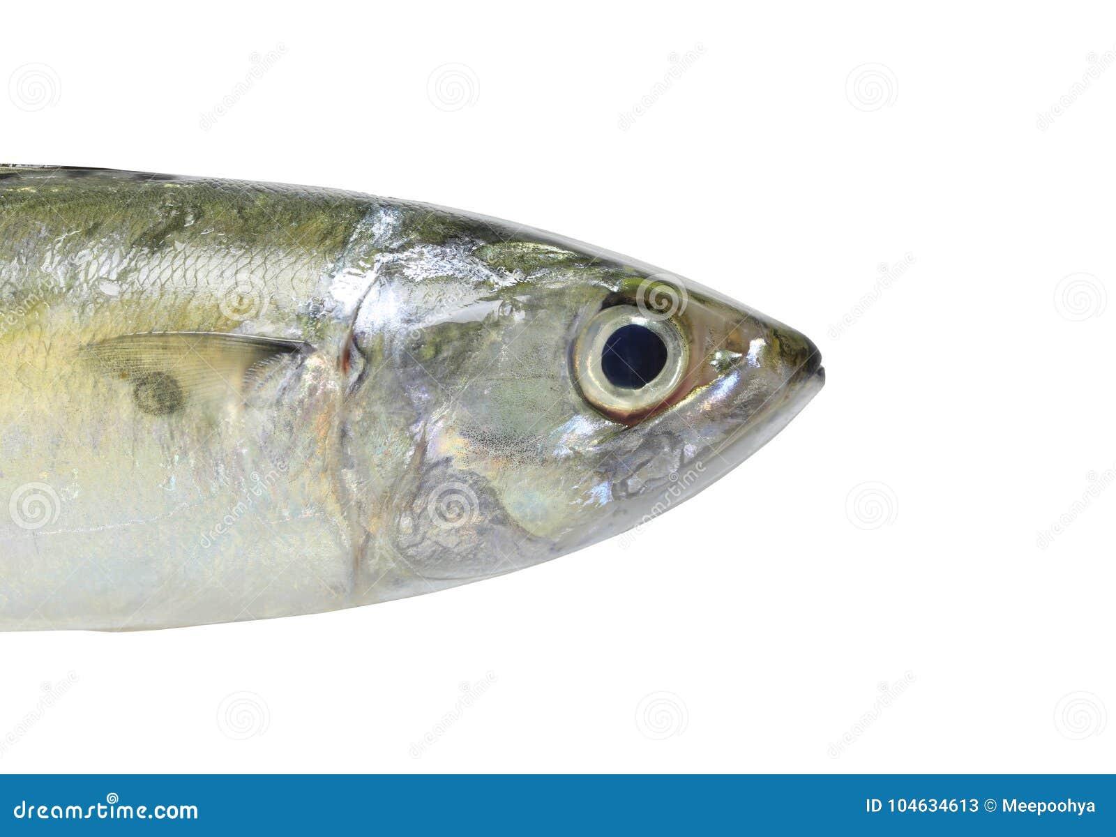 Download Ruwe Die Makreel Of Rastrelliger-brachysomavissen Op Witte B Worden Geïsoleerd Stock Afbeelding - Afbeelding bestaande uit marine, voedsel: 104634613
