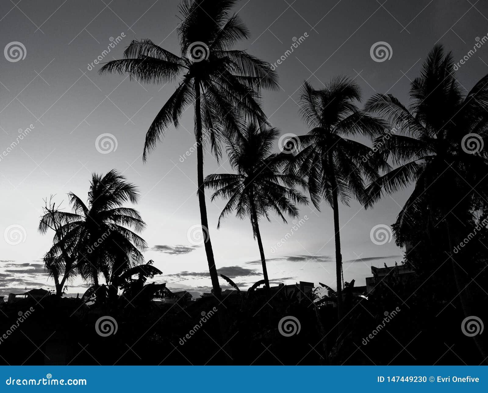 ?rvores de coco da silhueta durante o por do sol Conceito preto e branco
